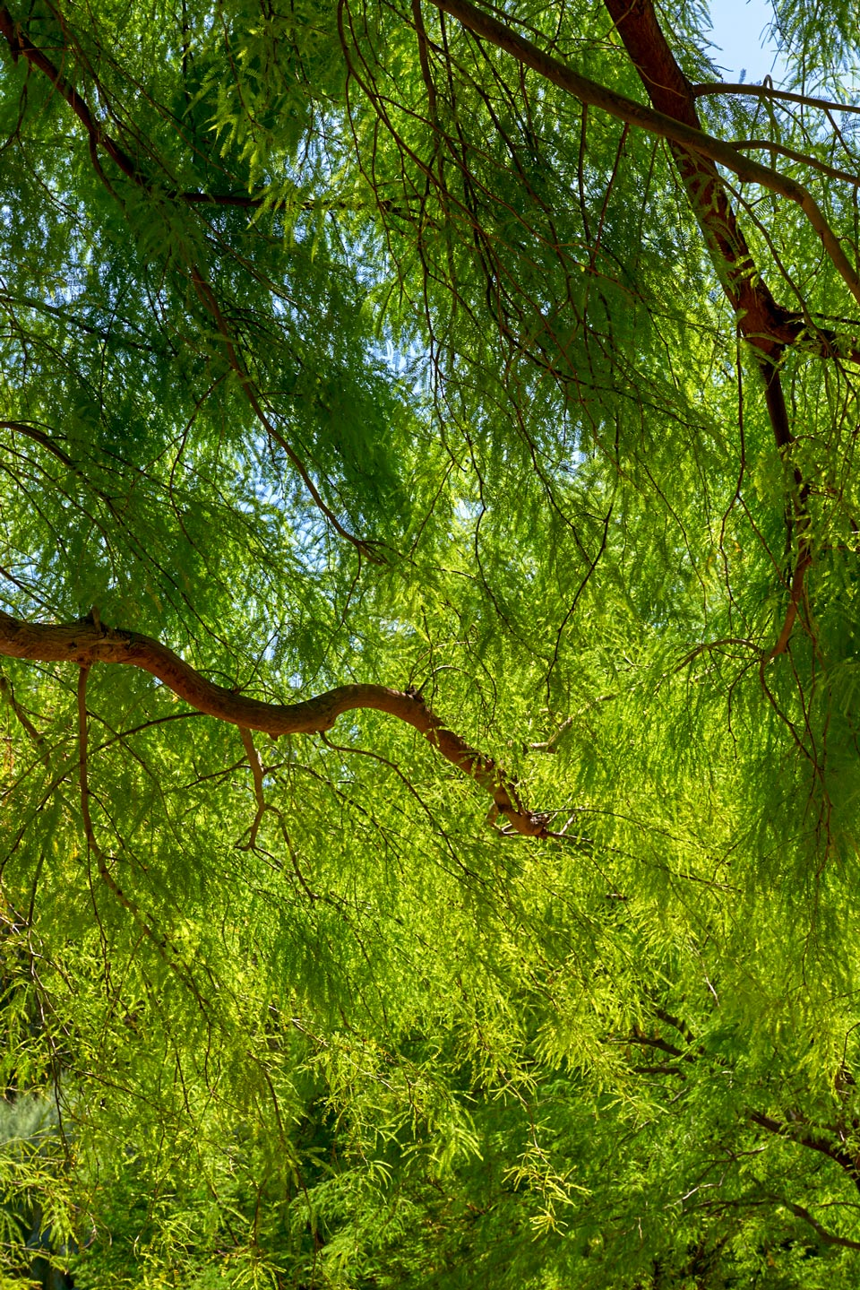 Looking up into the canopy of a Mesquite tree.