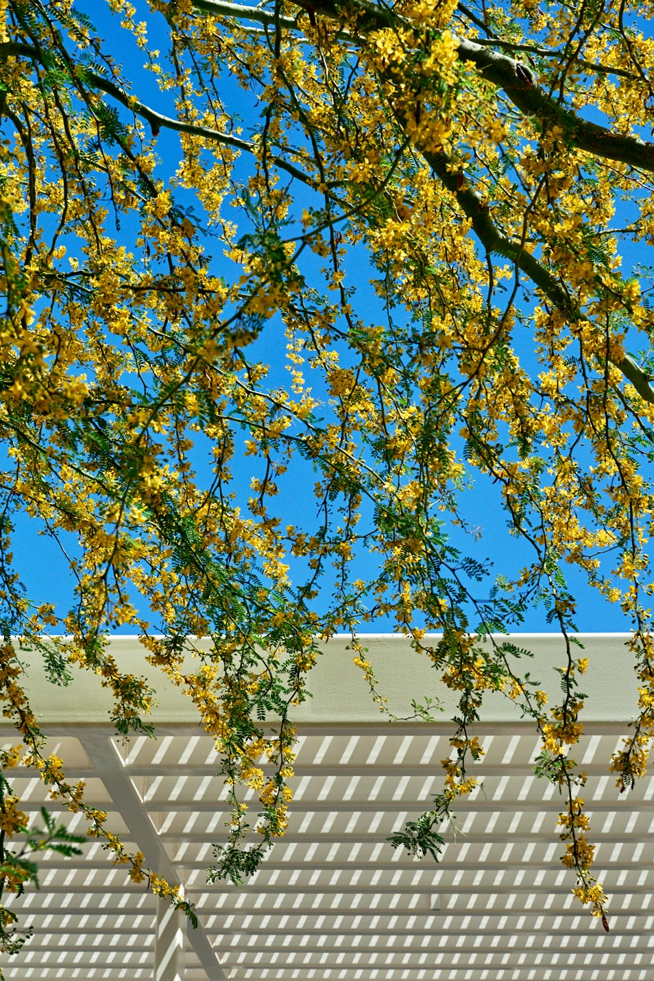 Multiple branches of Palo Brea with yellow blooms along each branch. A white trellis is in the background.