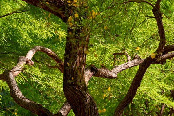 Mesquite hybrids