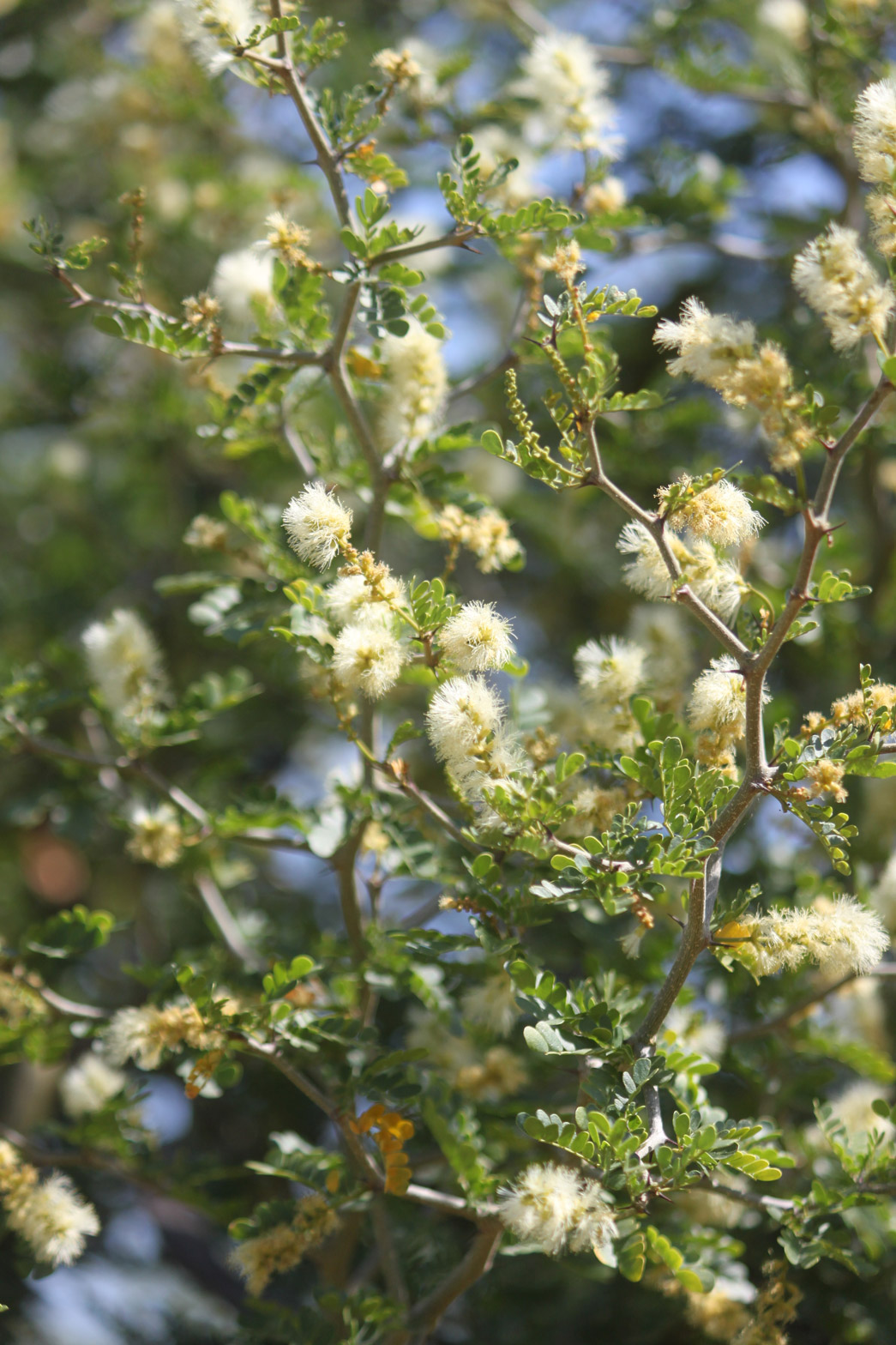 A close-up of the white flowers of the Texas Ebony.