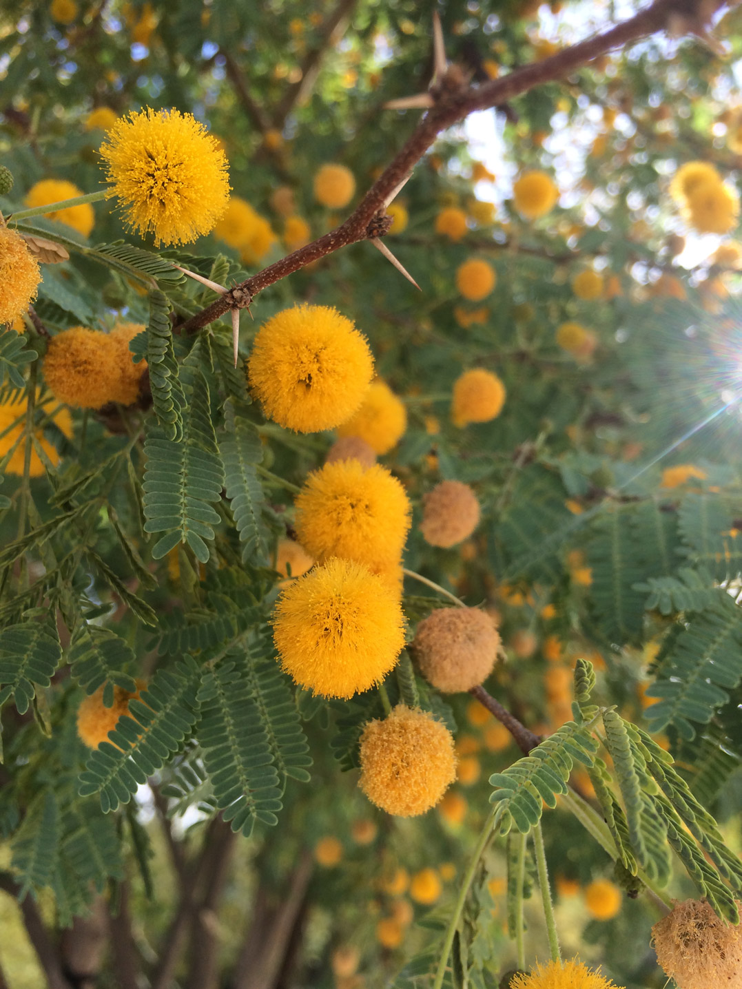 A close-up of the orange blooms of the Sweet Acacia.
