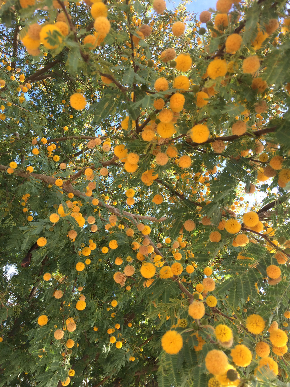 A close-up of the orange ball-like flowers of the Sweet Acacia.