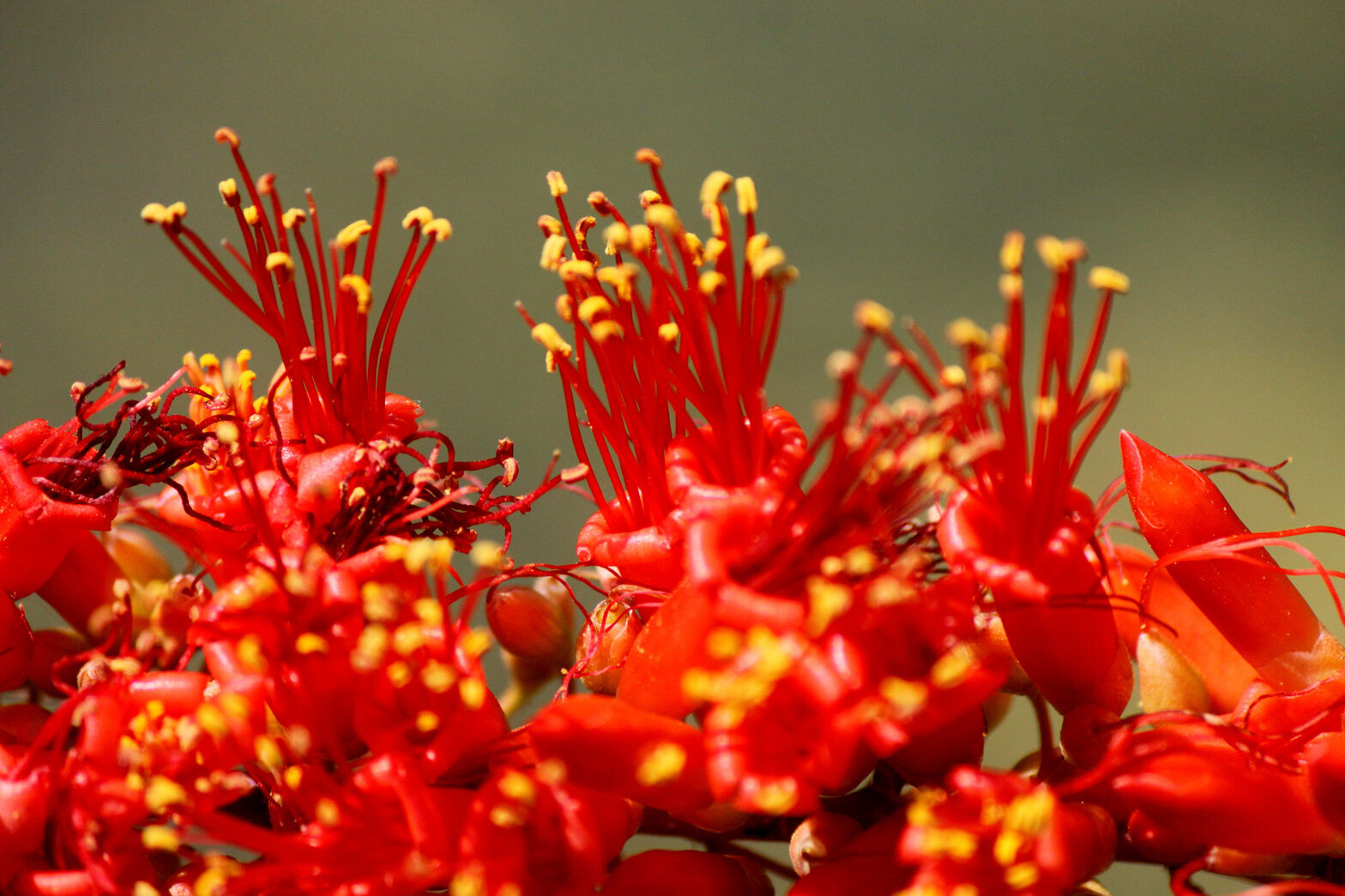 A close-up of red Ocotillo flowers.