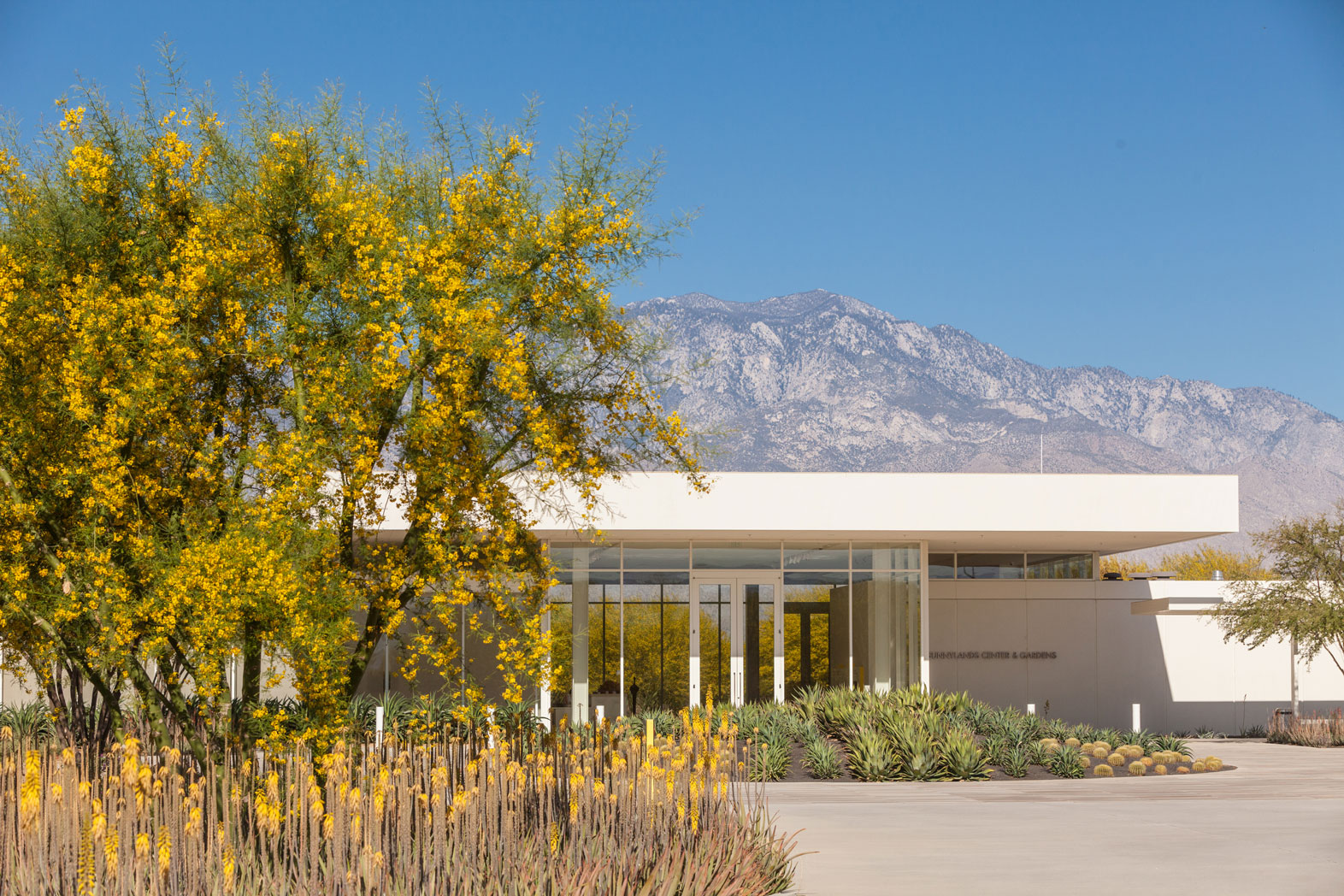 A blooming Sweet Acacia against a backdrop of the Center and Gardens and Mount San Jacinto. Blooming Blue Elf Aloe are in the foreground.