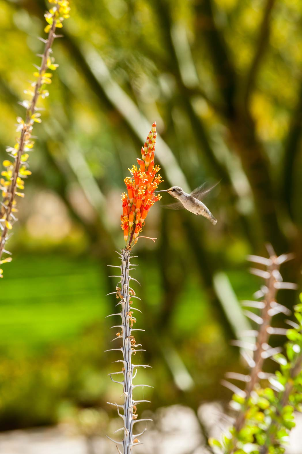 An Ocotillo blooming in the Gardens.