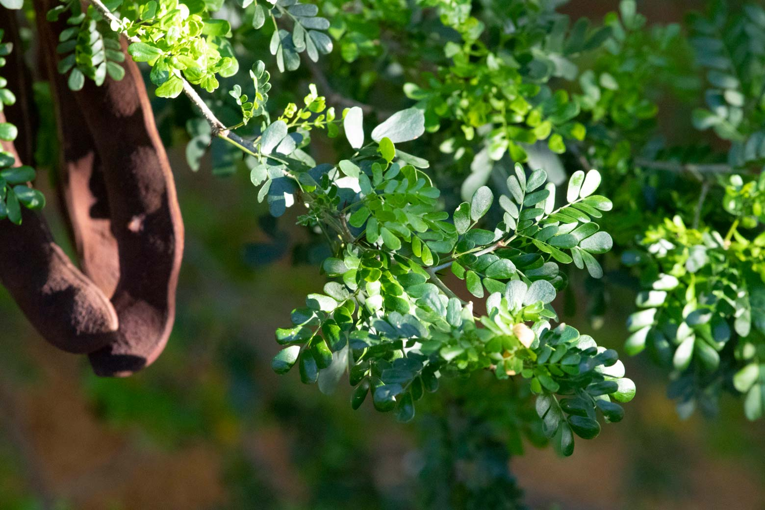 A close-up of the leaves of a Texas Ebony.