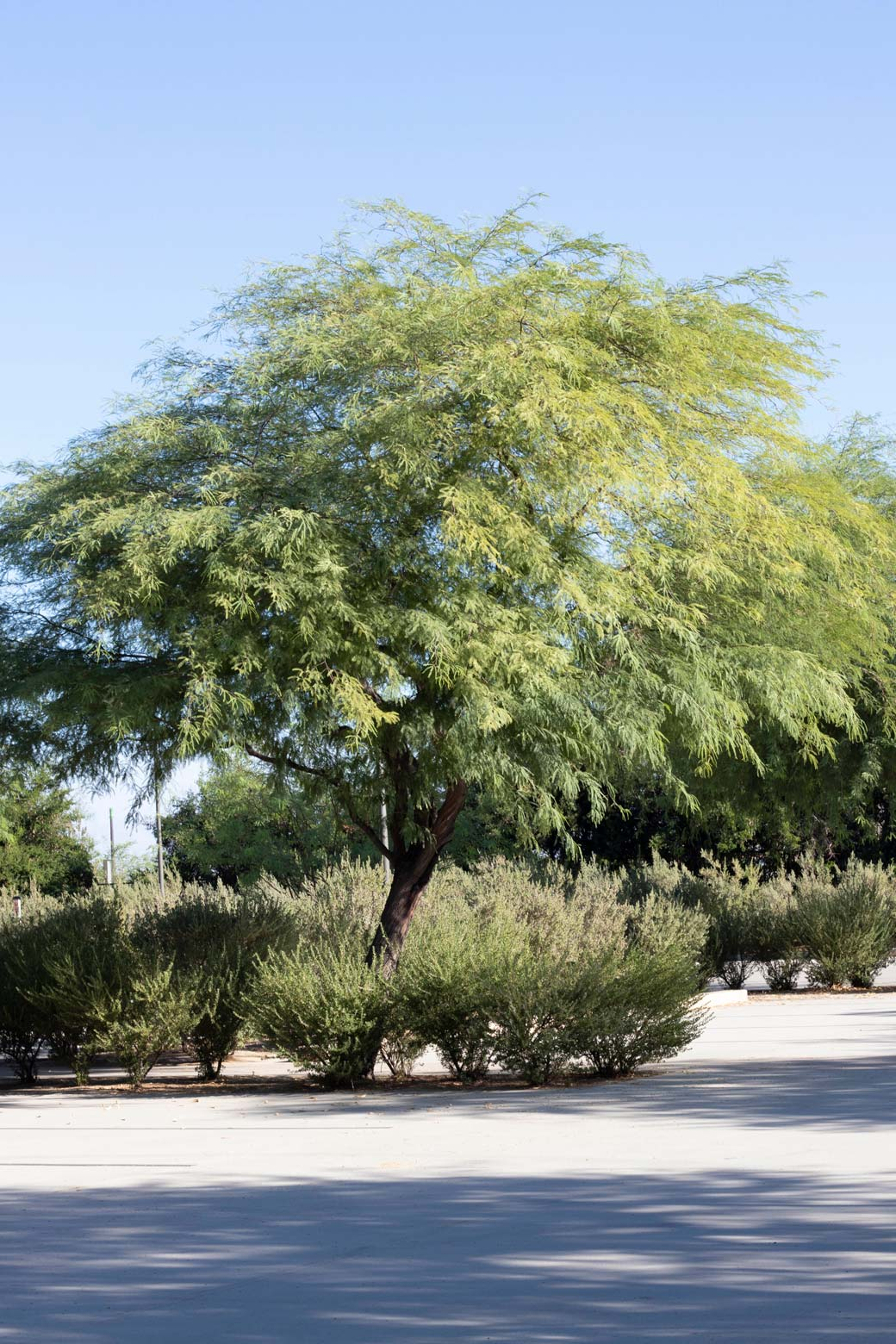 A Mesquite tree in the parking lot at Sunnylands Center and Gardens.