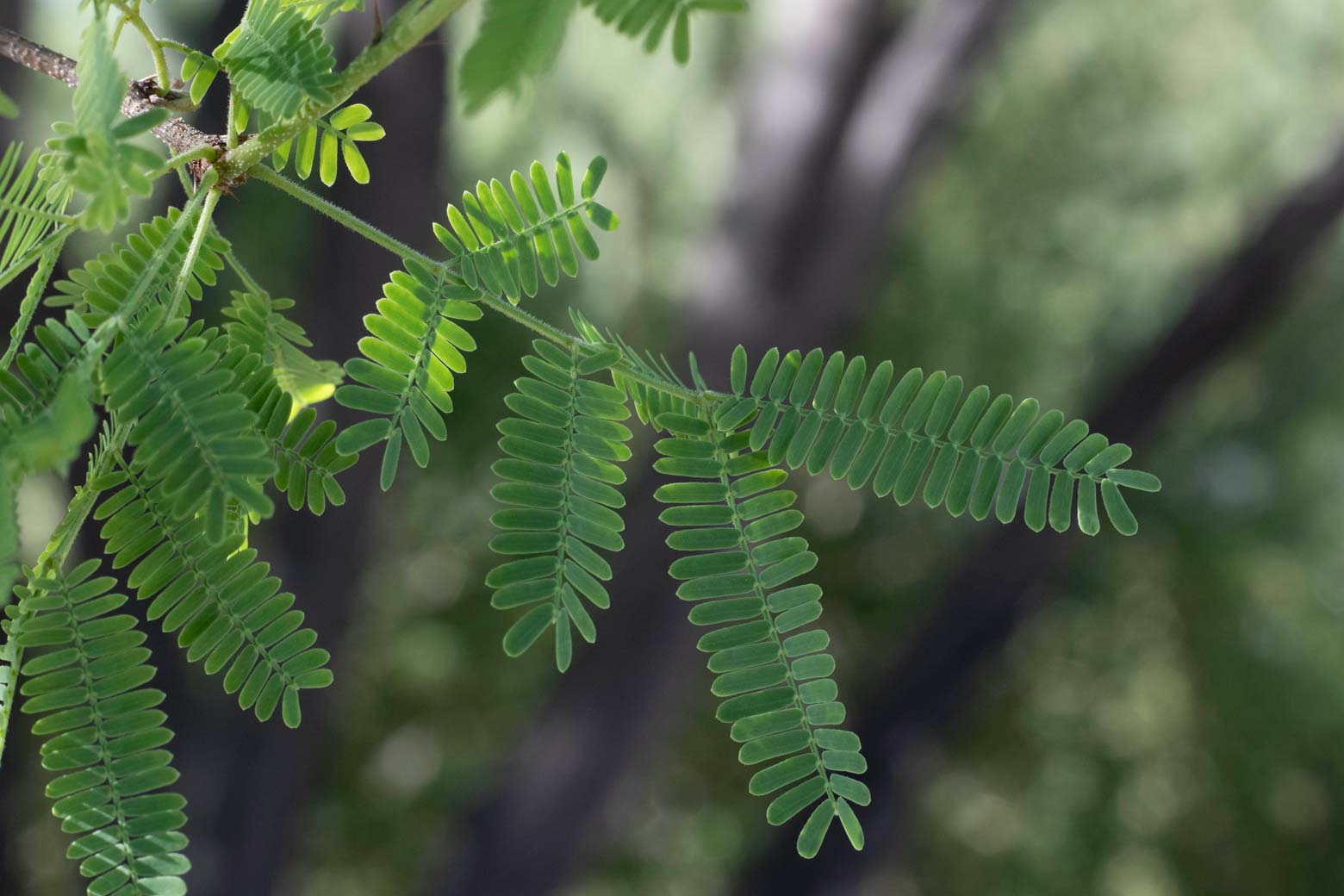 A close-up of Sweet Acacia leaves.