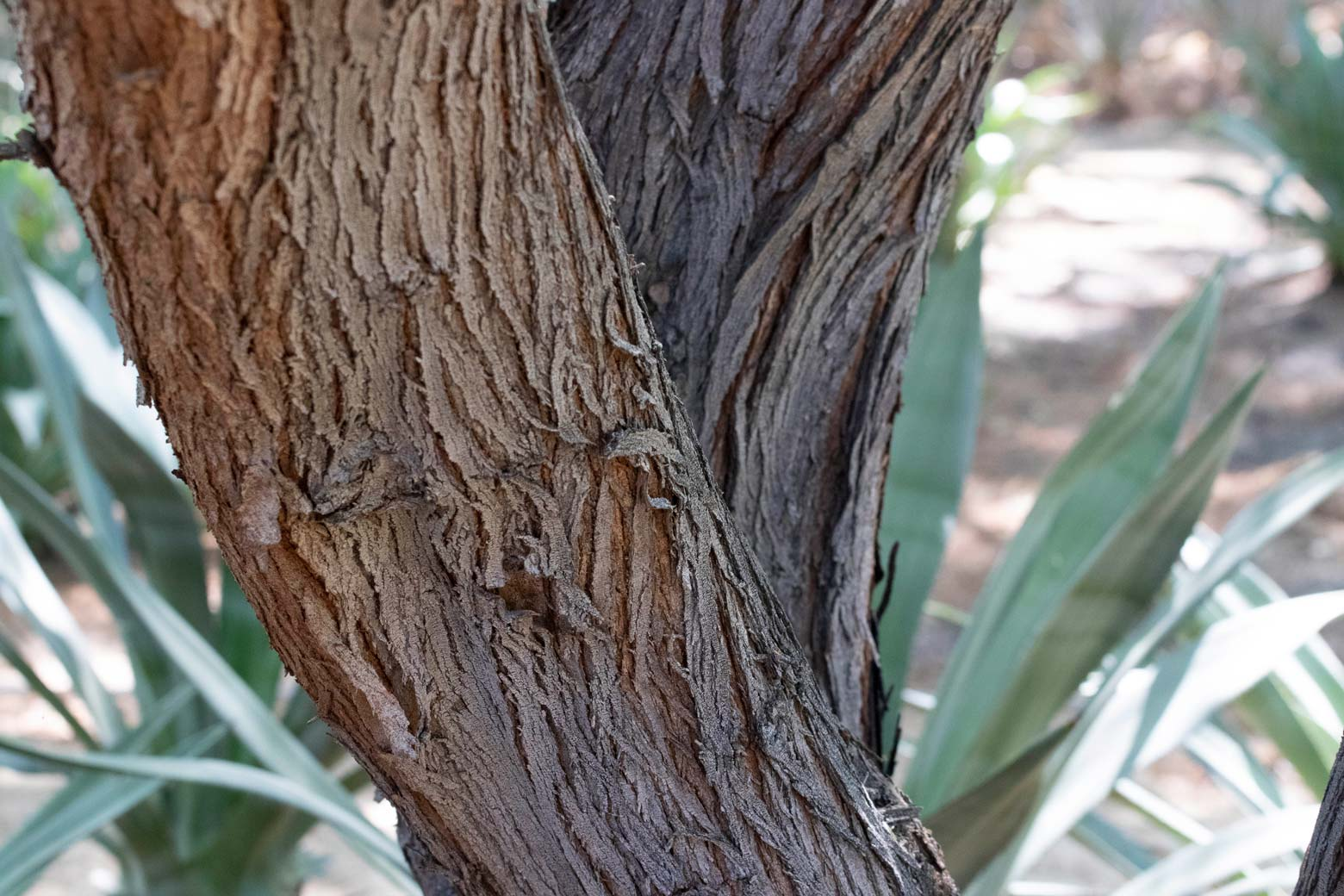 A close-up of the bark of a Mesquite tree.