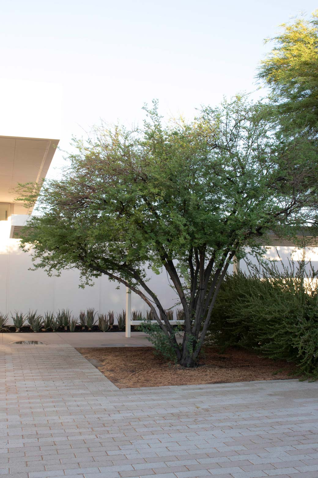 A Sweet Acacia tree, without blooms, in the corner of the circular drive at the entrance to Sunnylands Center and Gardens.