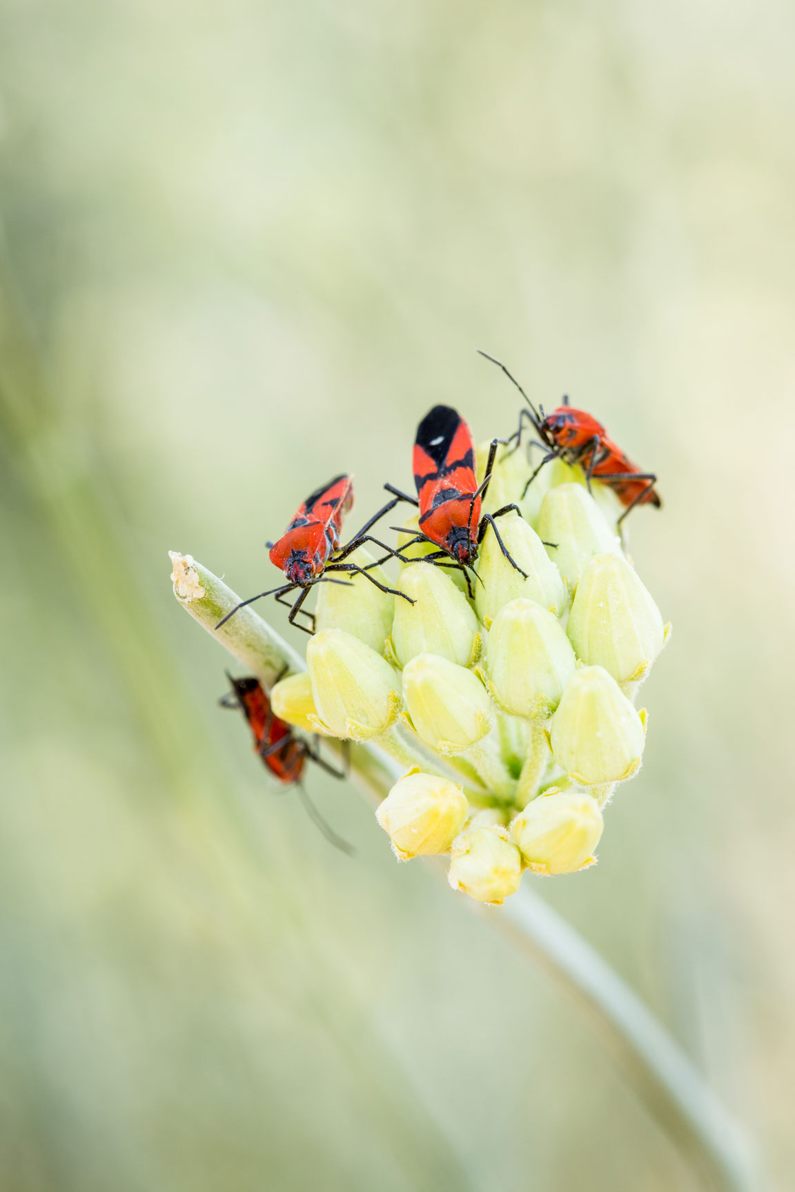 Red and black Milkweed bugs on the flowers of the Desert Milkweed.