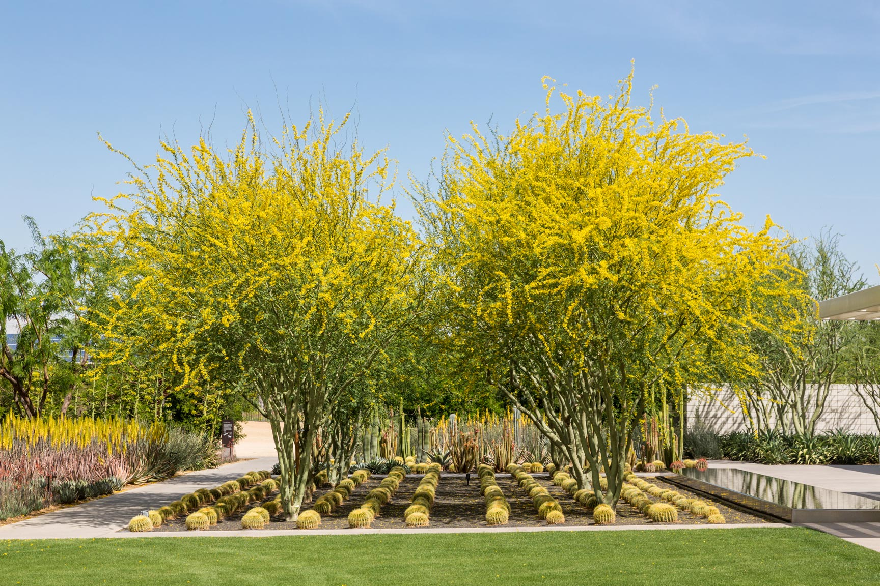A group of Palo Brea trees blooming above multiple Golden Barrel cacti in a planter filled with black scoria.