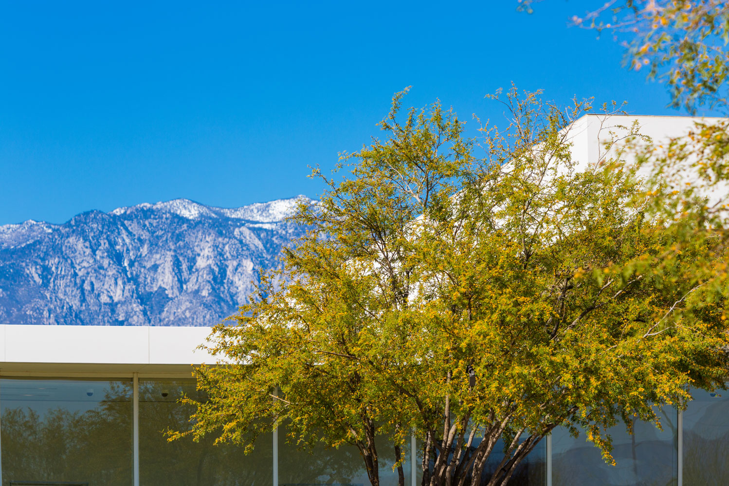 A blooming Sweet Acacia against a backdrop of the roof of the Center and Gardens and Mount San Jacinto.