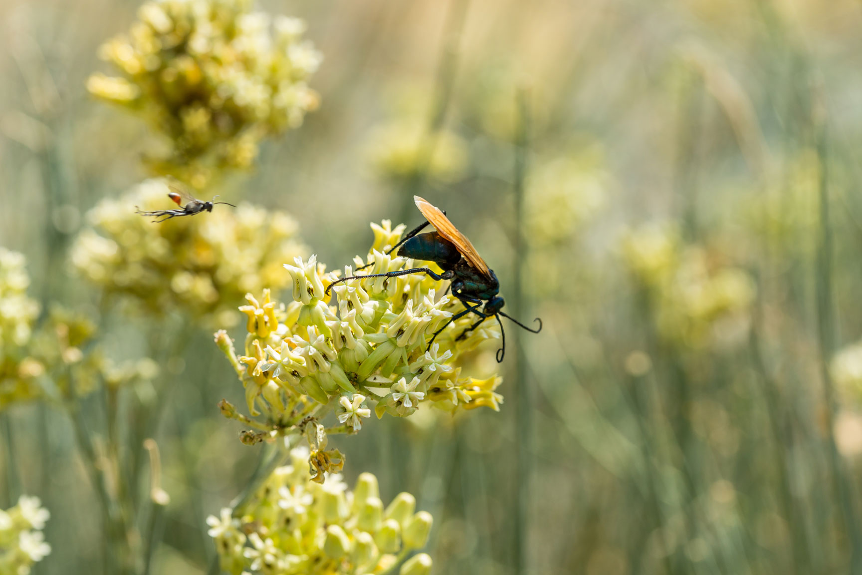 A Tarantula Hawk Wasp perched on Desert Milkweed flowers.