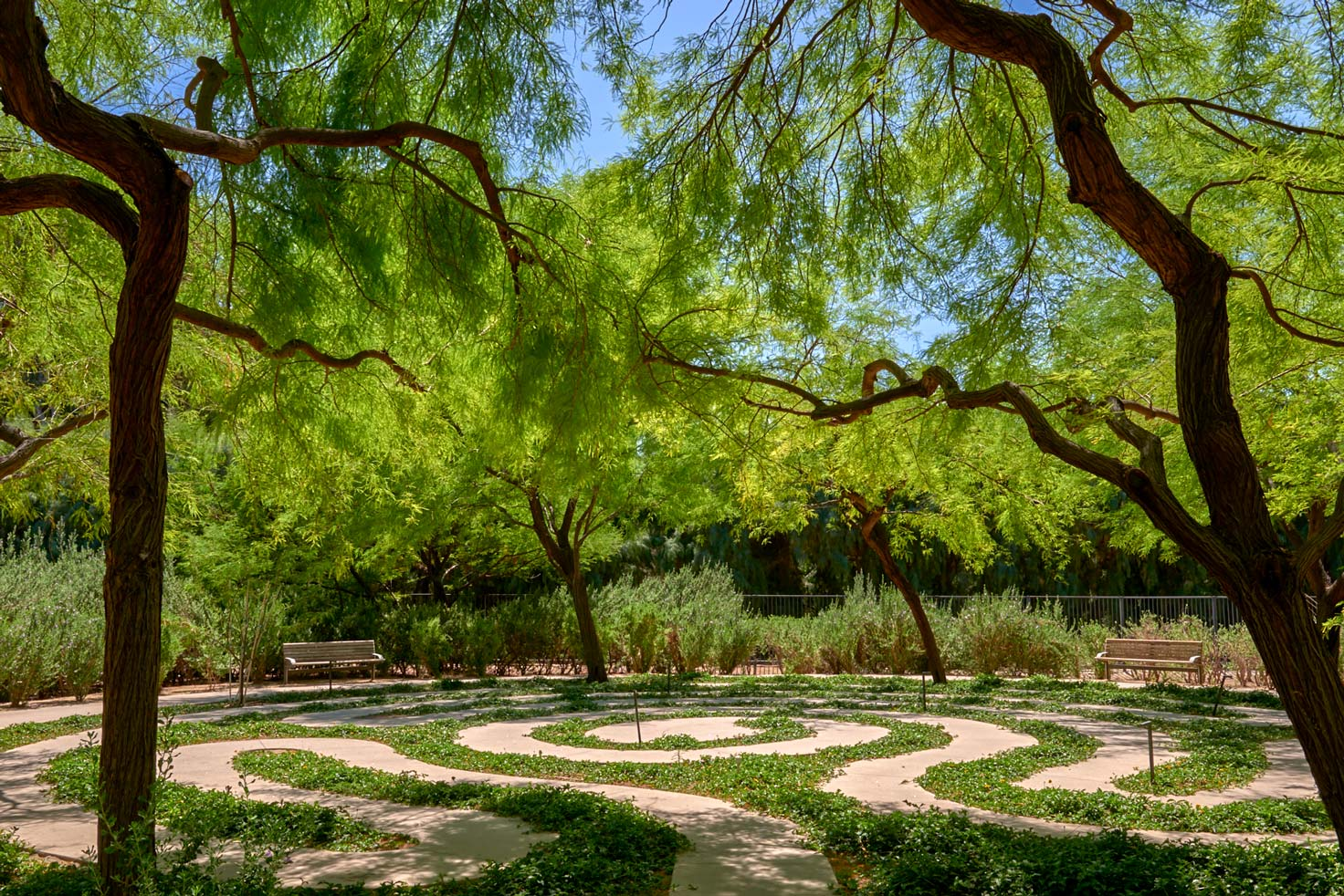 A view of the Labyrinth at Sunnylands Center and Gardens. The low-growing Wedelia winds around the cement path of the labyrinth. The labyrinth is surrounded by Mesquite trees.