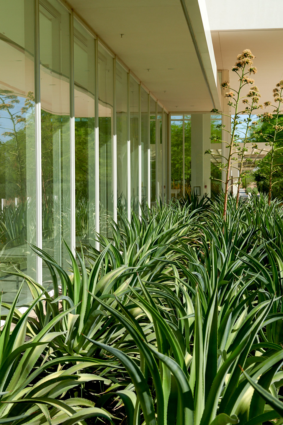 A grouping of Smooth Agave along the Exhibition Gallery window of Sunnylands Center & Gardens.