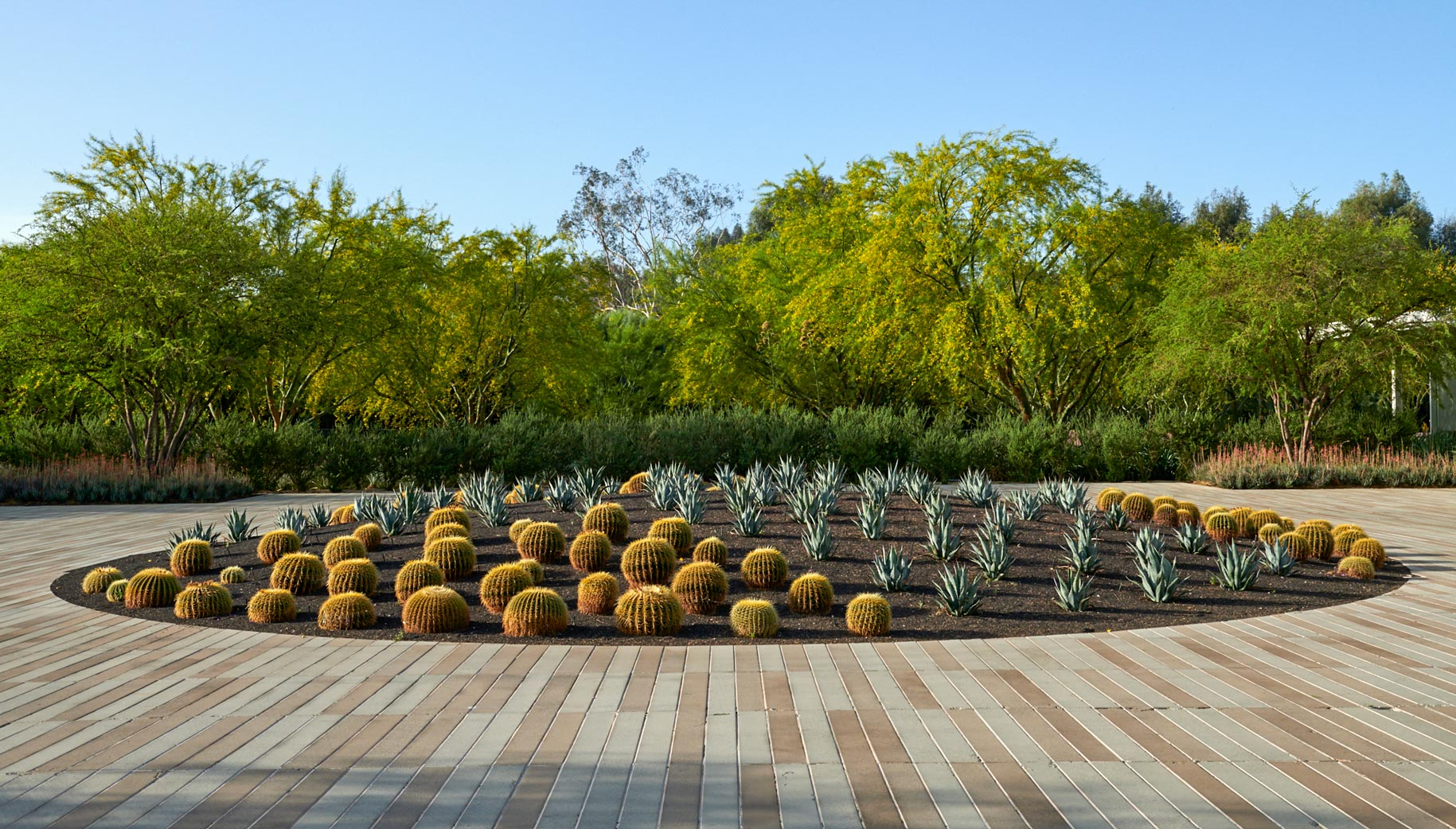 Golden Barrel cacti planted in rows in a circular planter at the entry court of Sunnylands Center and Gardens.