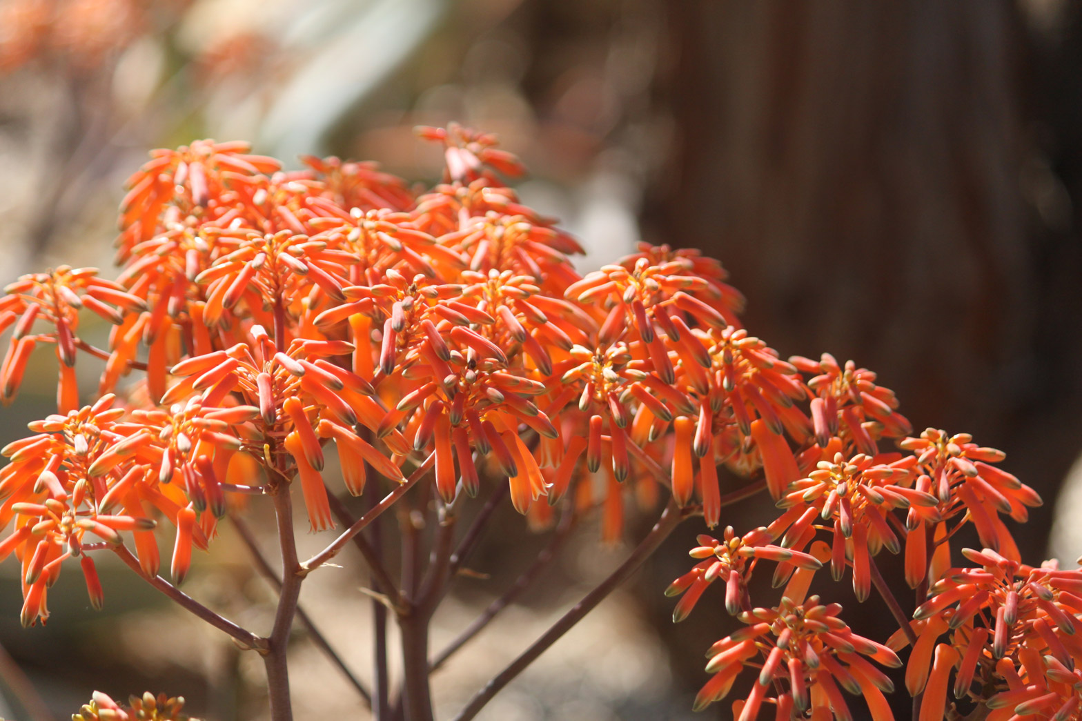 A close-up of brightly colored Coral Aloe flowers.