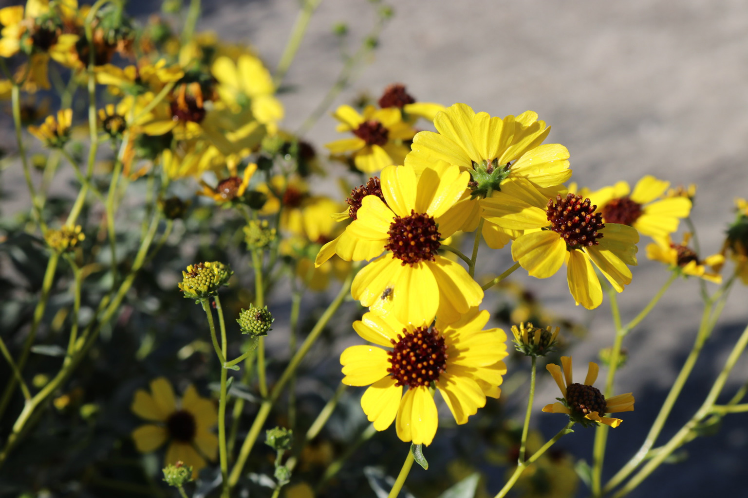 Several yellow Brittlebush flowers bloom.