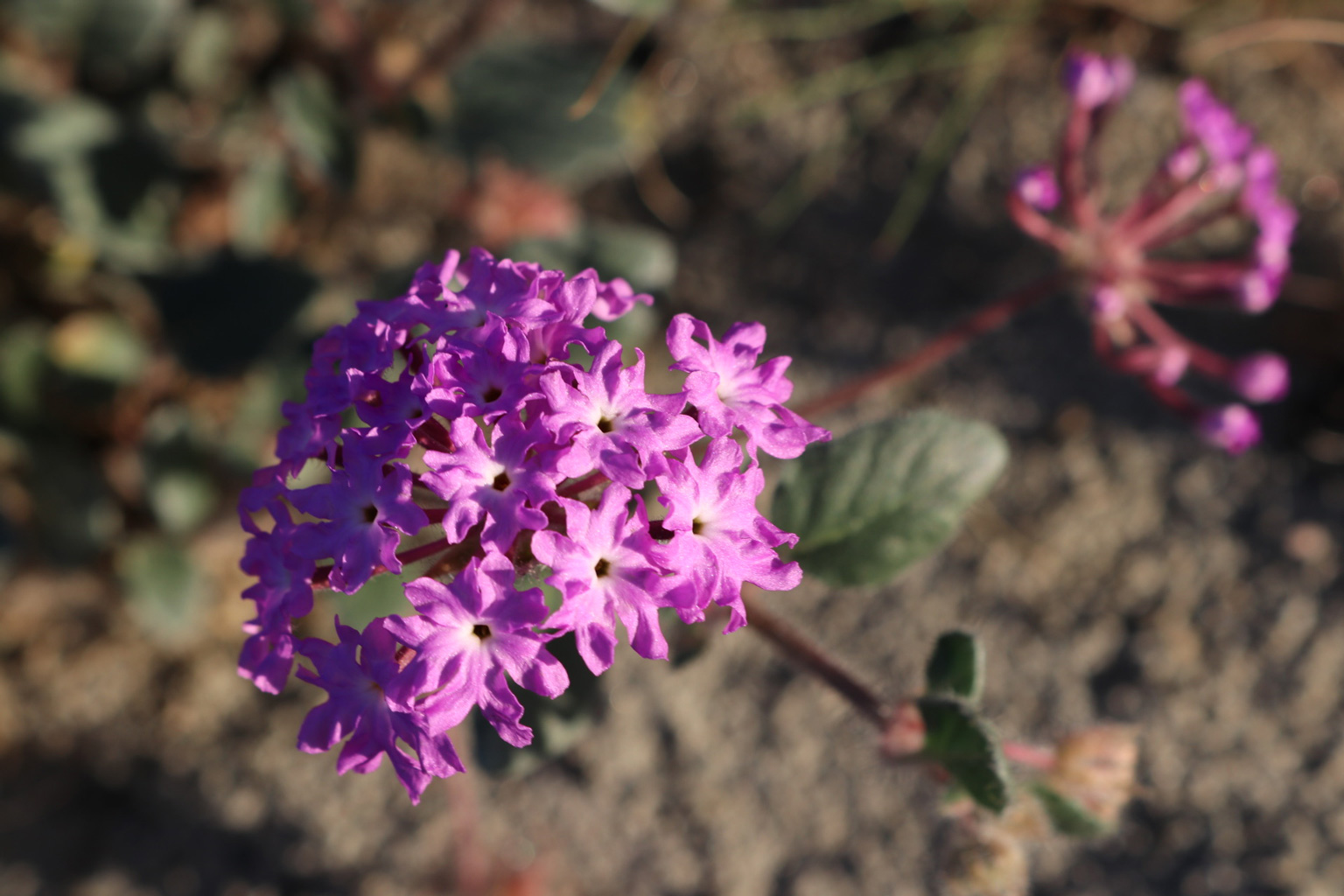 A close-up of a Sand Verbena flower cluster.