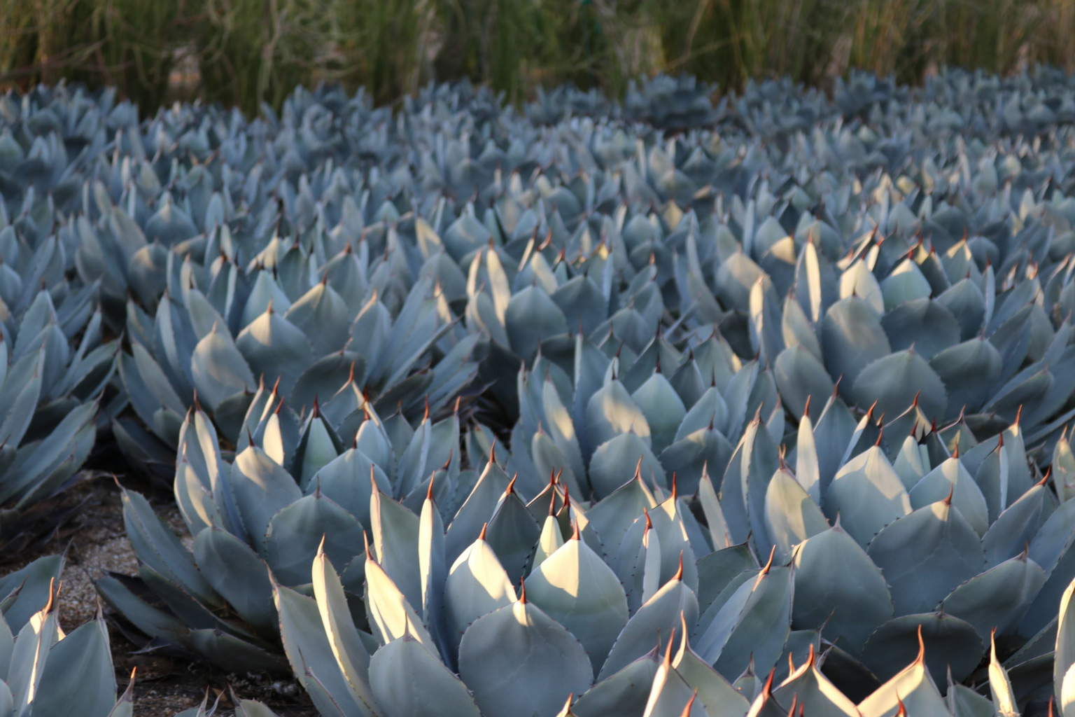 A grouping of Artichoke Agave.