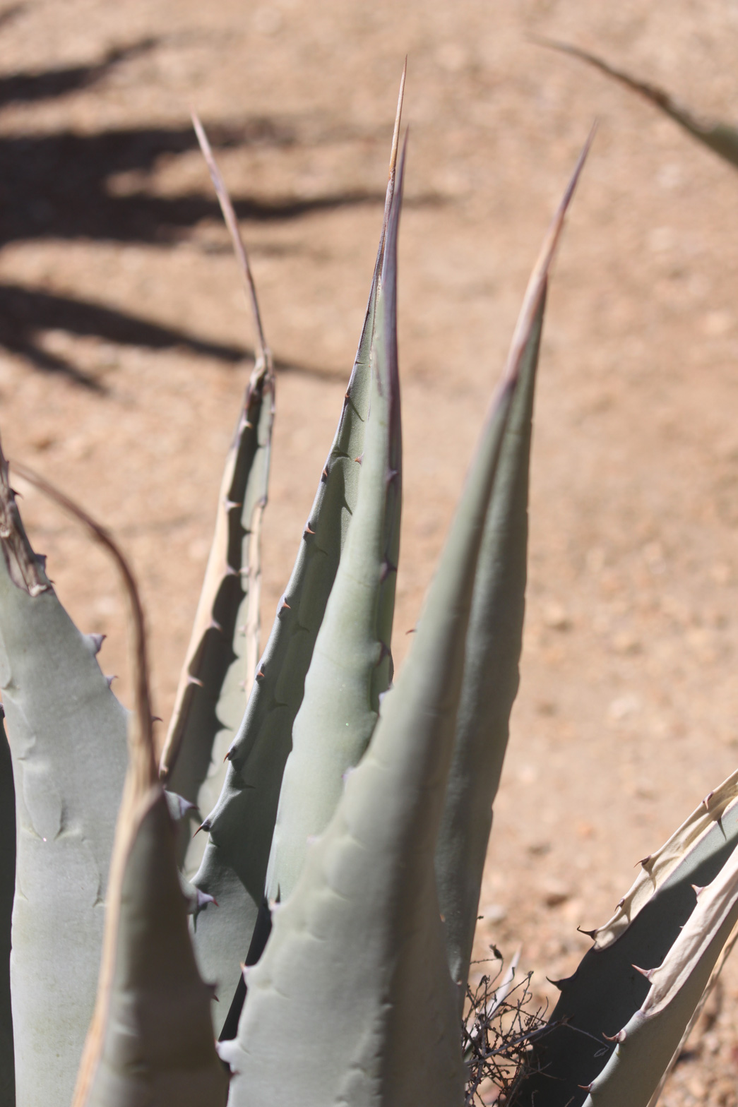 A close-up of the leaves of Desert Agave.