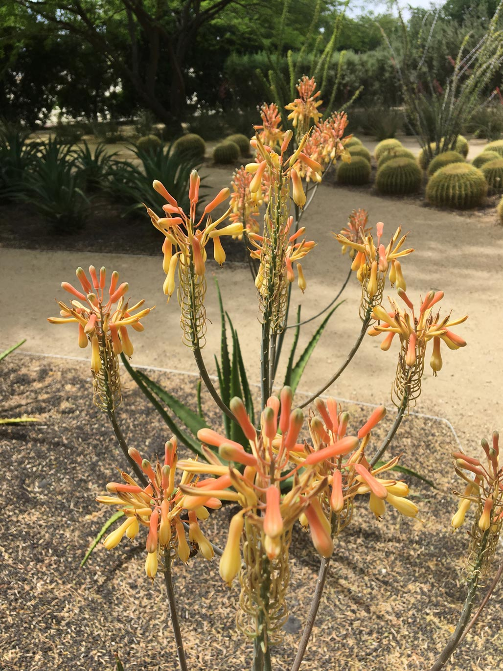 The coral flowers of Nubian Aloe.