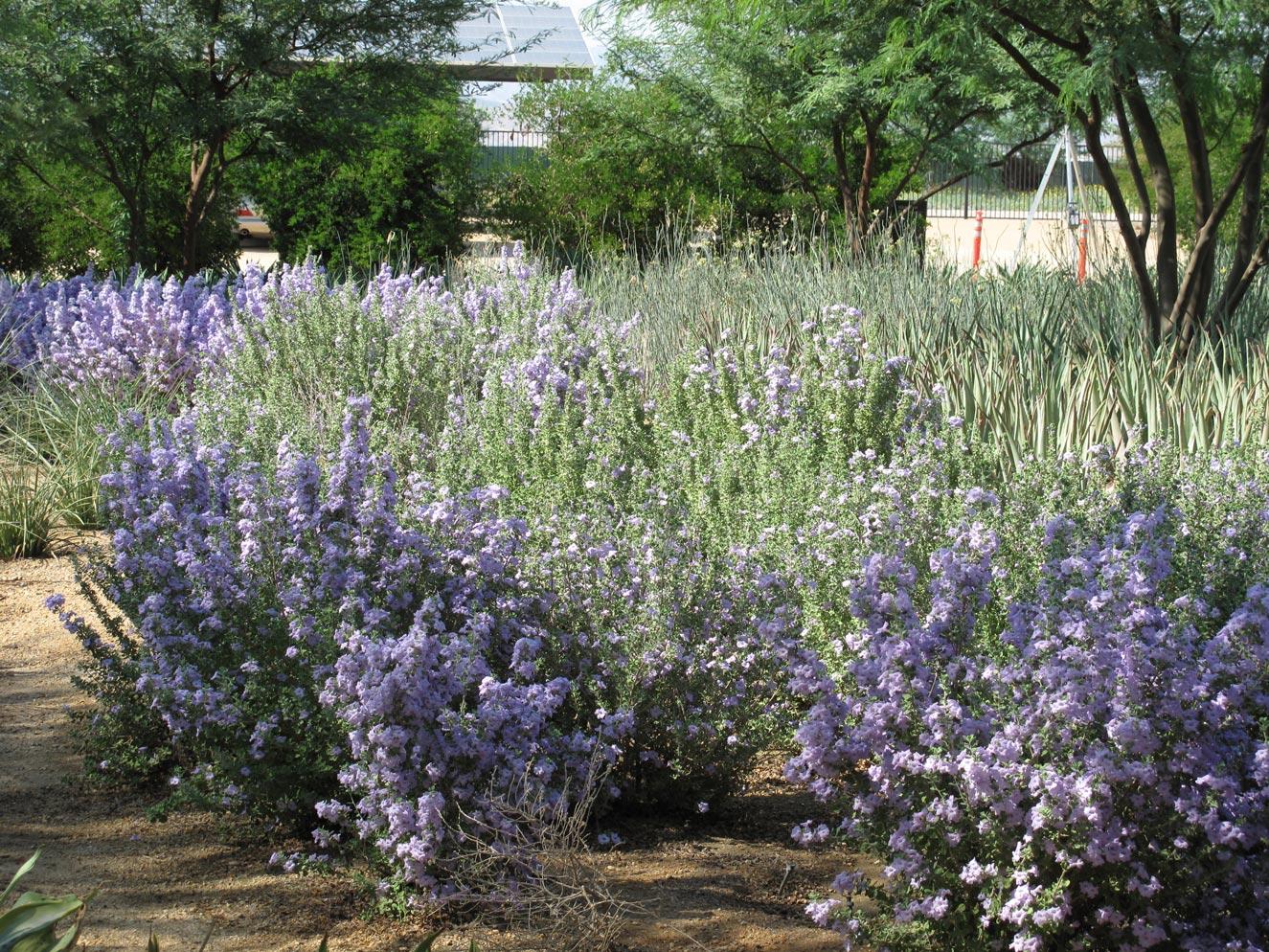 Leucophyllum plants filled with light purple blooms.