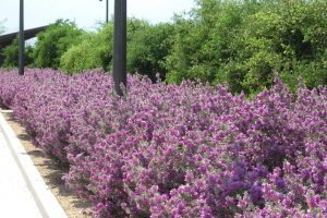 A shoulder-high row of Leucophyllum full of purple blooms along the Sunnylands Center and Gardens' parking lot.