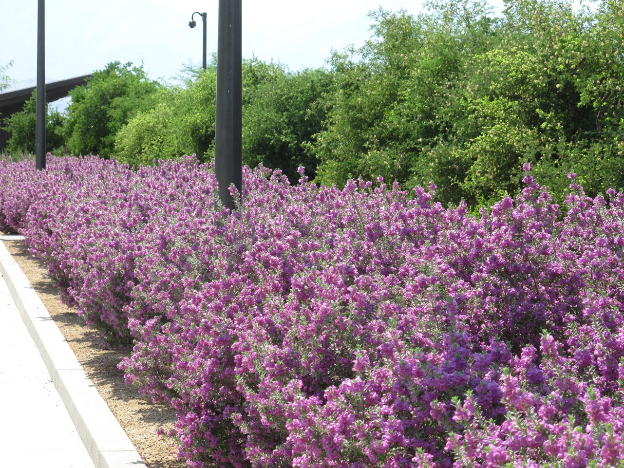 A shoulder-high row of Leucophyllum full of purple blooms along the Sunnylands Center and Gardens' parking lot.