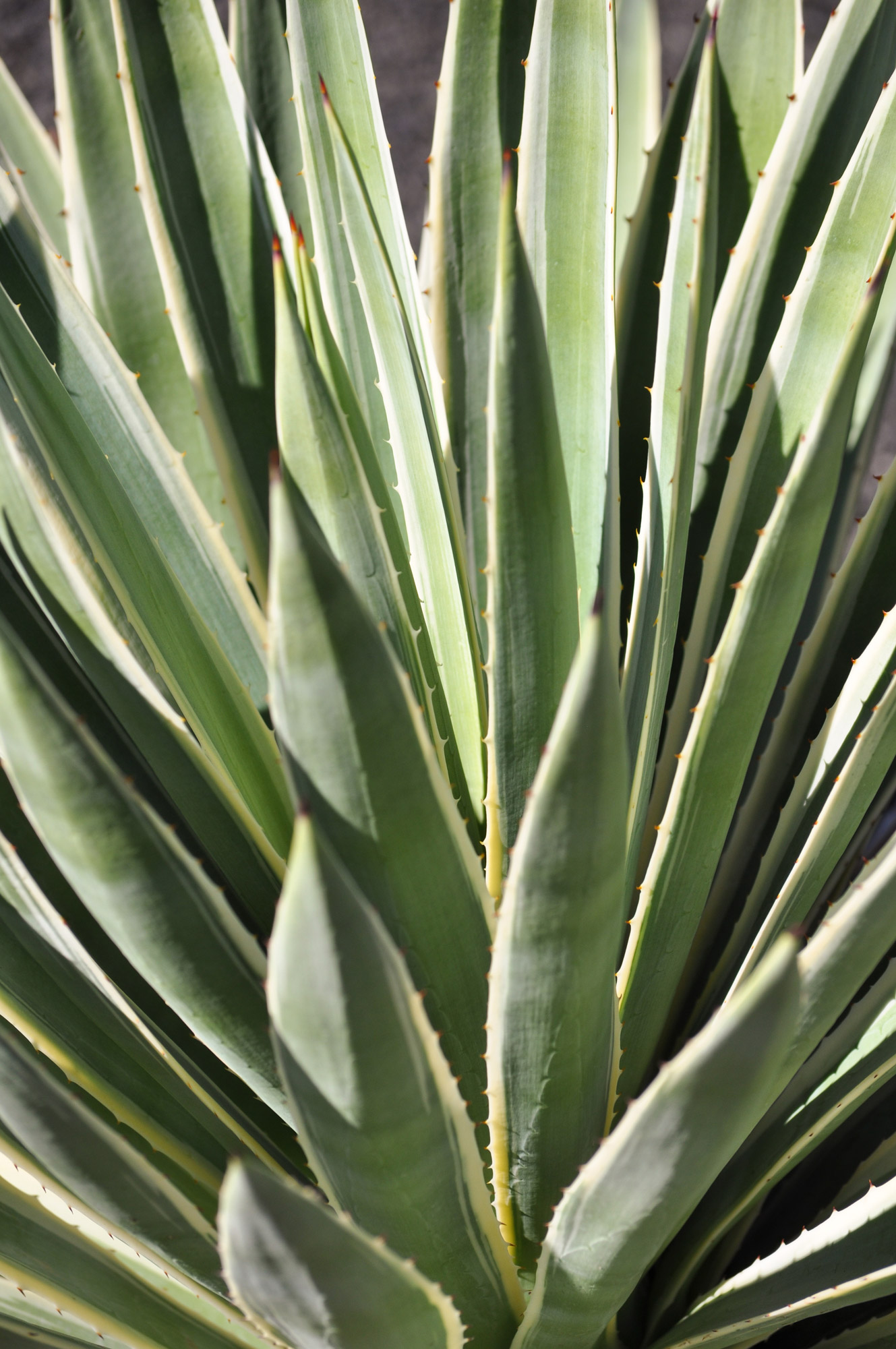 A close-up of the leaves of the Caribbean Agave.