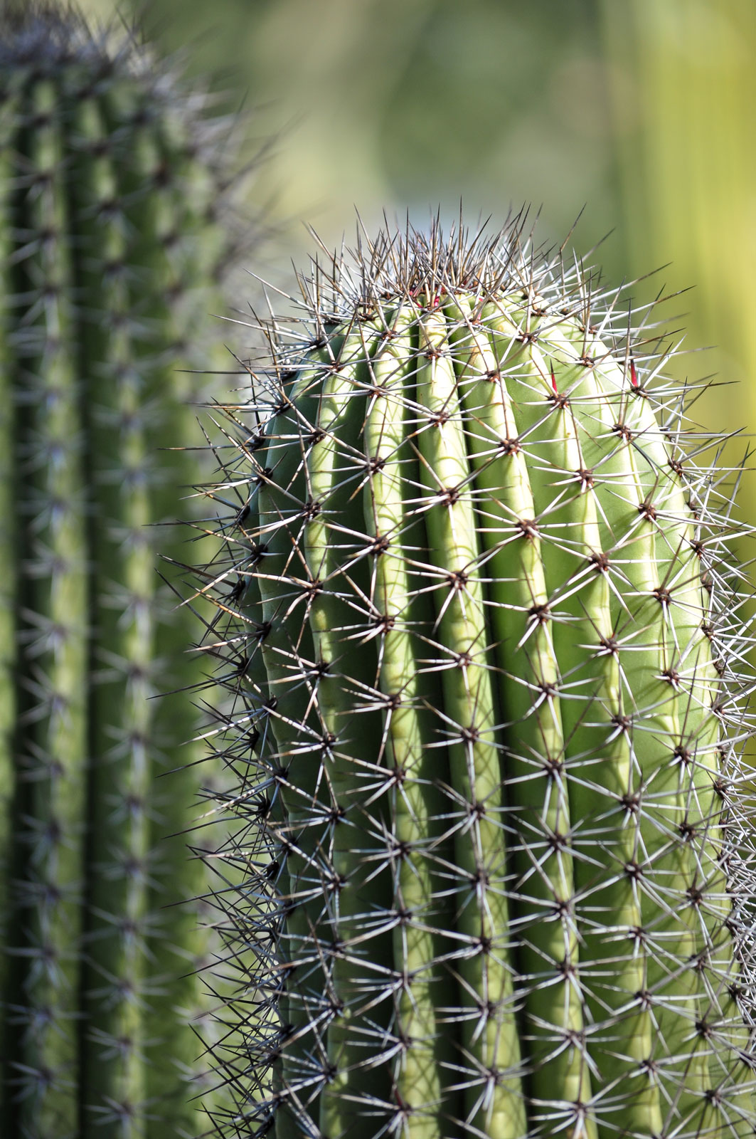 The top of an Organ Pipe cactus.