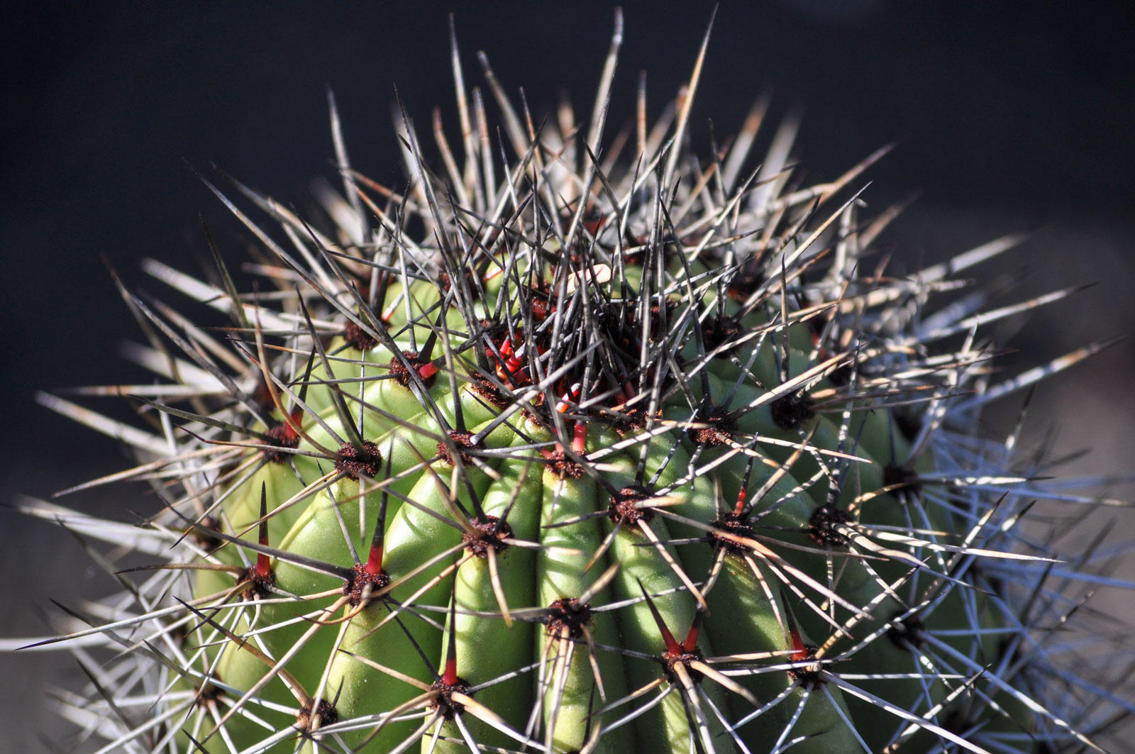 A close-up of the gray spines on top of an Organ Pipe cactus.