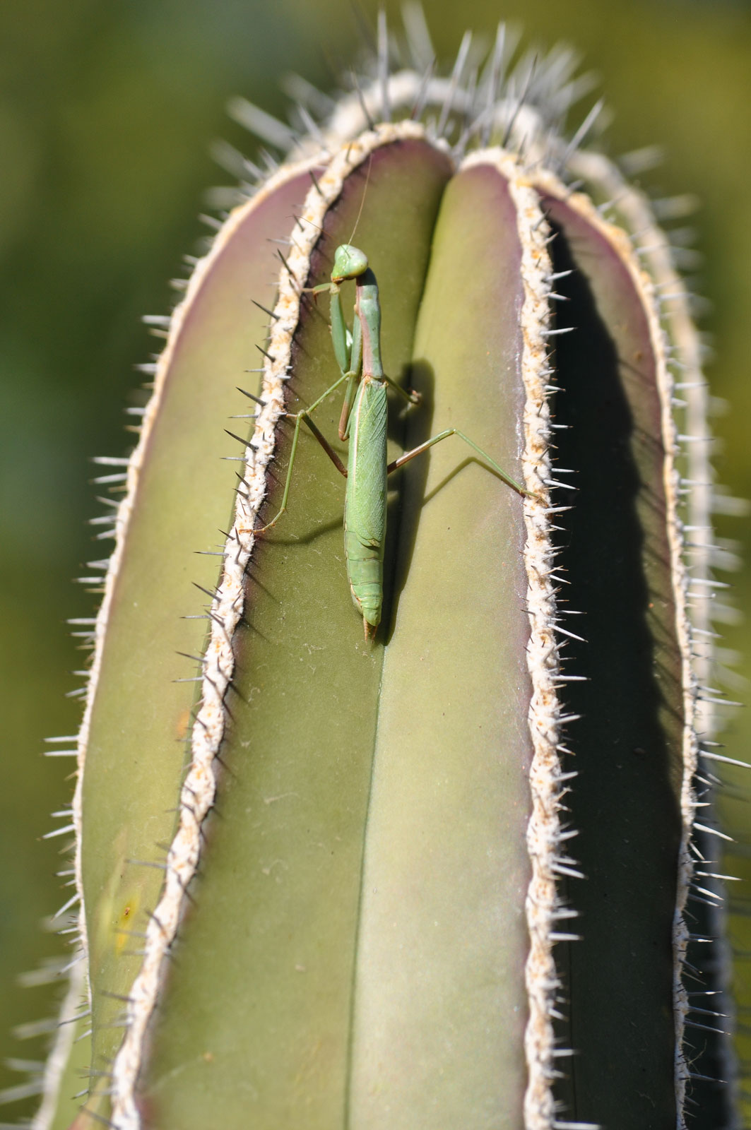A praying mantis perches on the top of a Fencepost cactus.