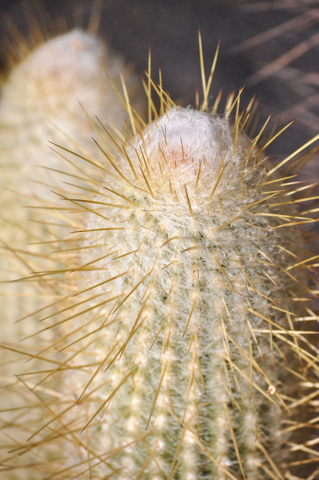 A close-up of the top of an Old Lady Cactus. The gold spines stick out from under a white fuzzy-like cap.