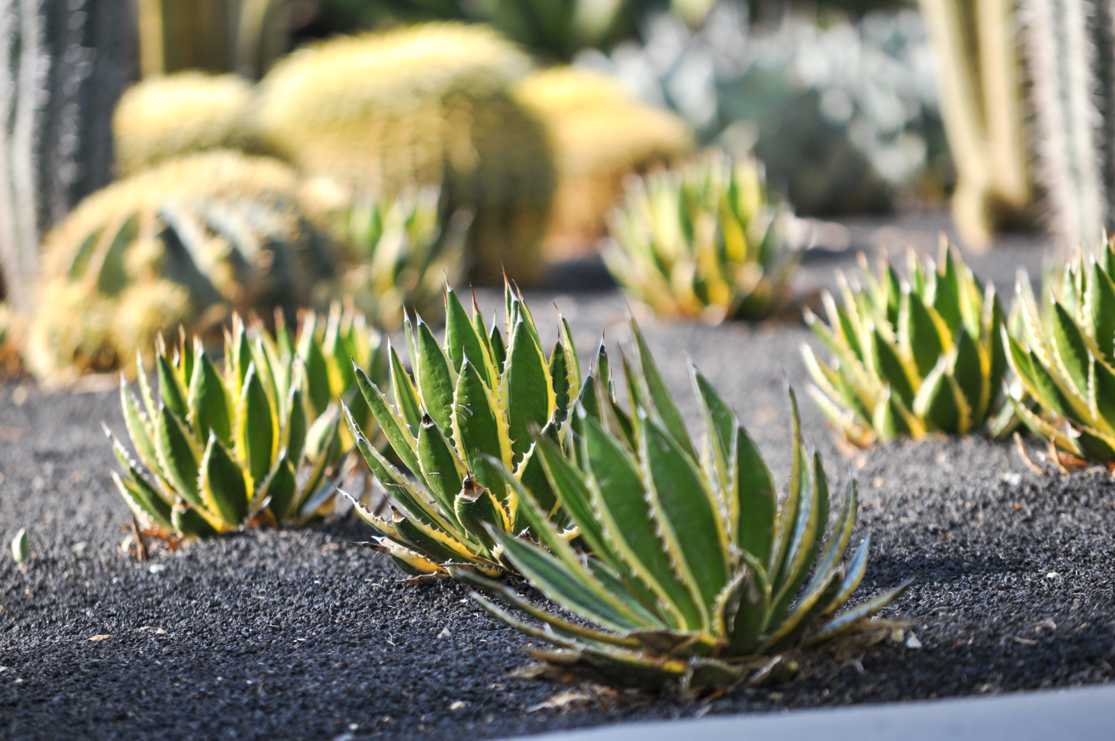 Multiple Thorn-crested Agaves in the specimen beds at Sunnylands Center and Gardens.