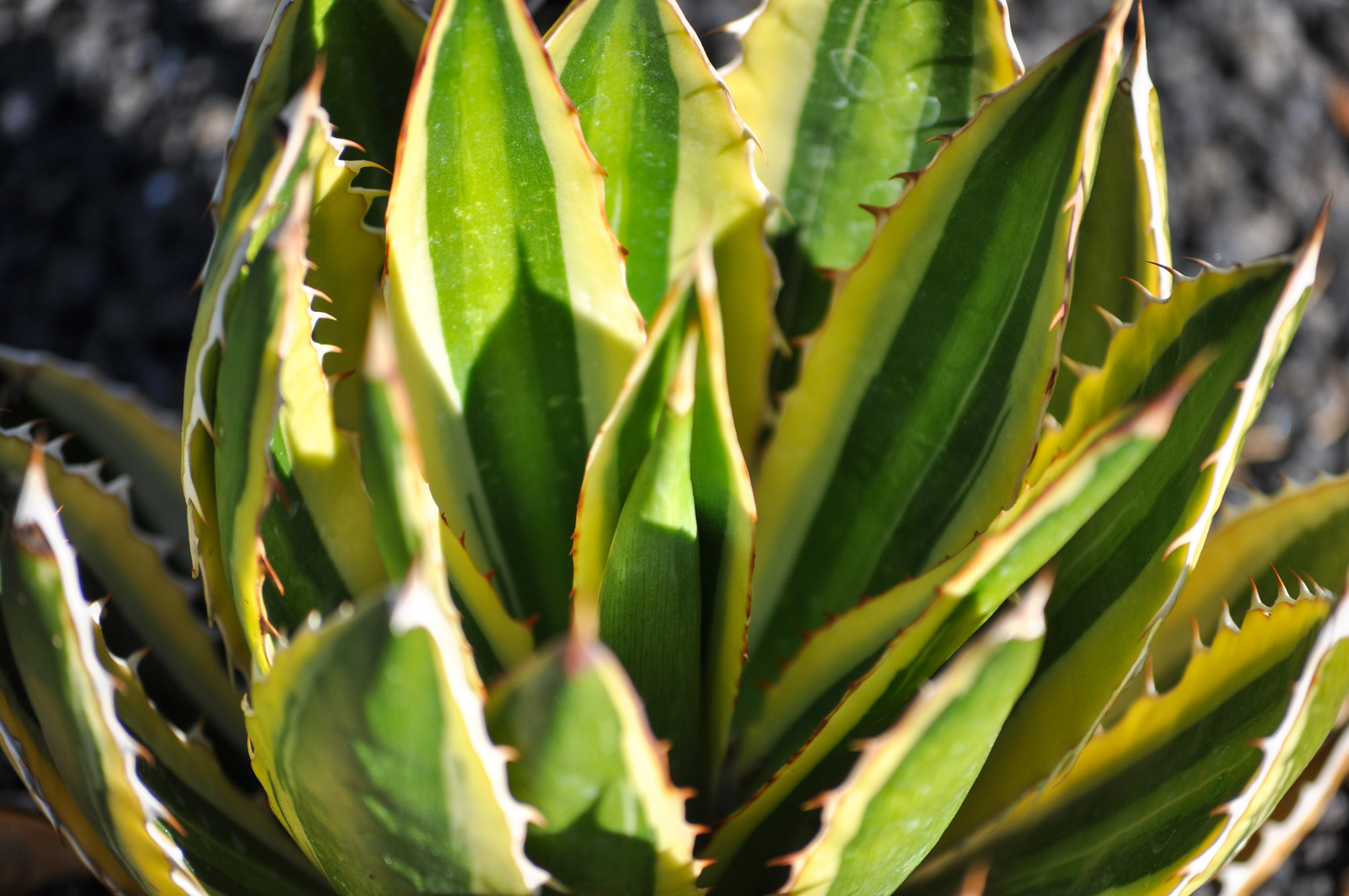 A close-up of the quadricolor leaves of the Thorn-crested Agave.