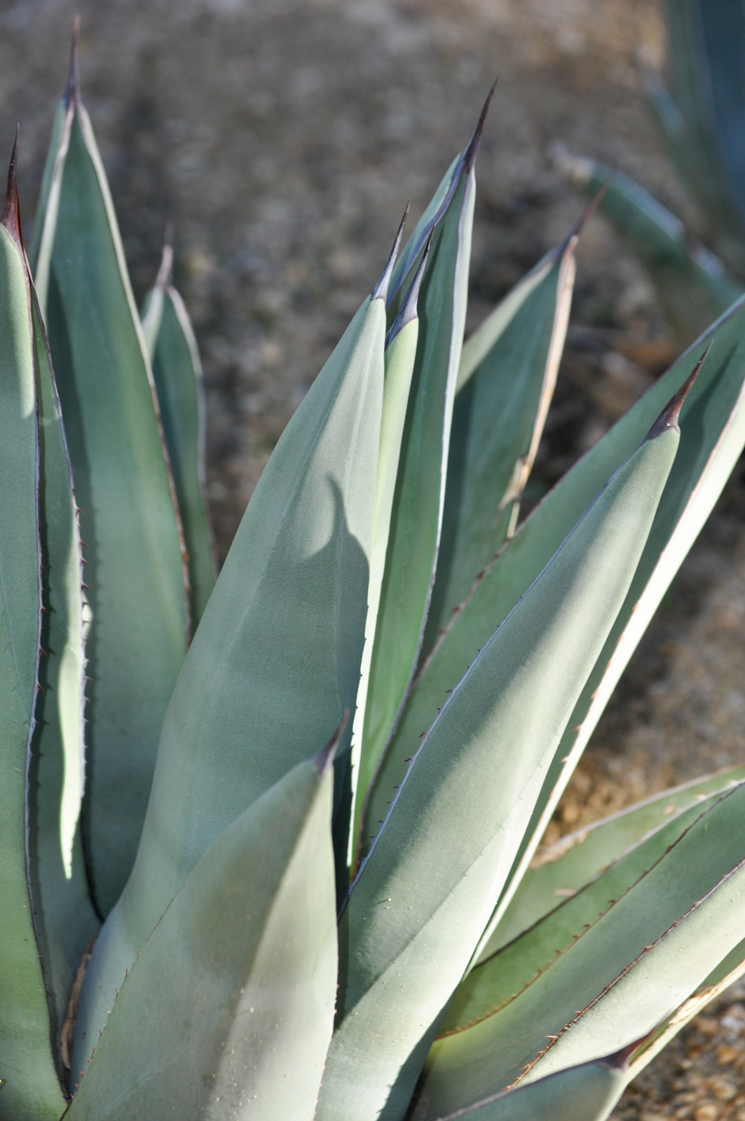 A close-up of the leaves and spines of the Sharkskin Agave.