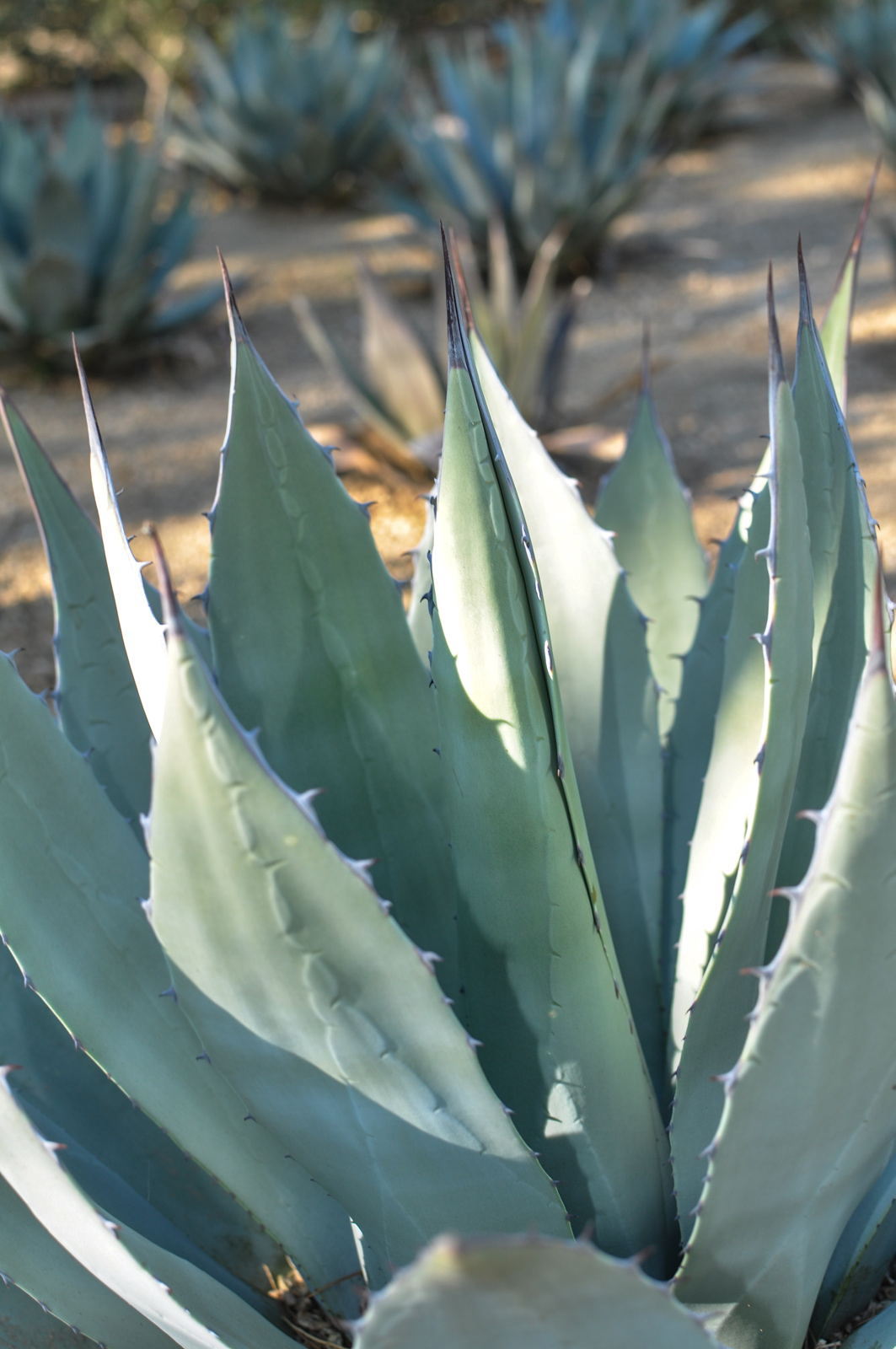 A close-up of the leaves and teeth of the Parry's Agave.