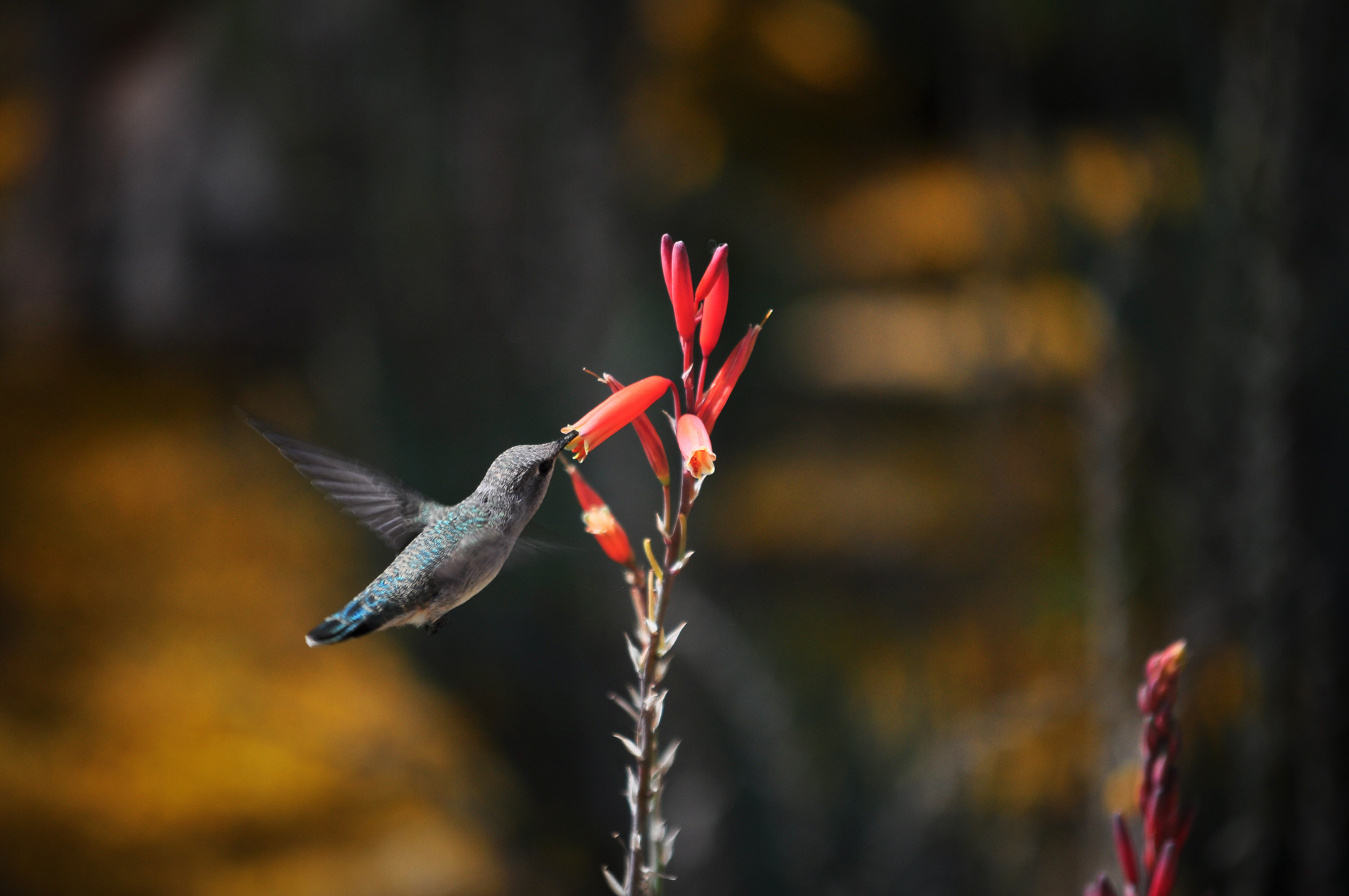 A hummingbird feeds on a Blue Elf Aloe flower.