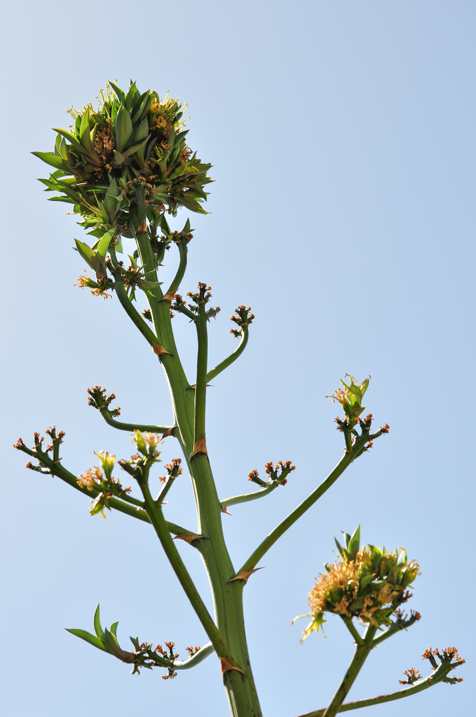 The top half of a Smooth Agave stalk against a blue sky.