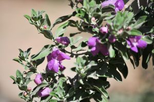 A close-up view of the purple leucophyllum flowers and leaves..