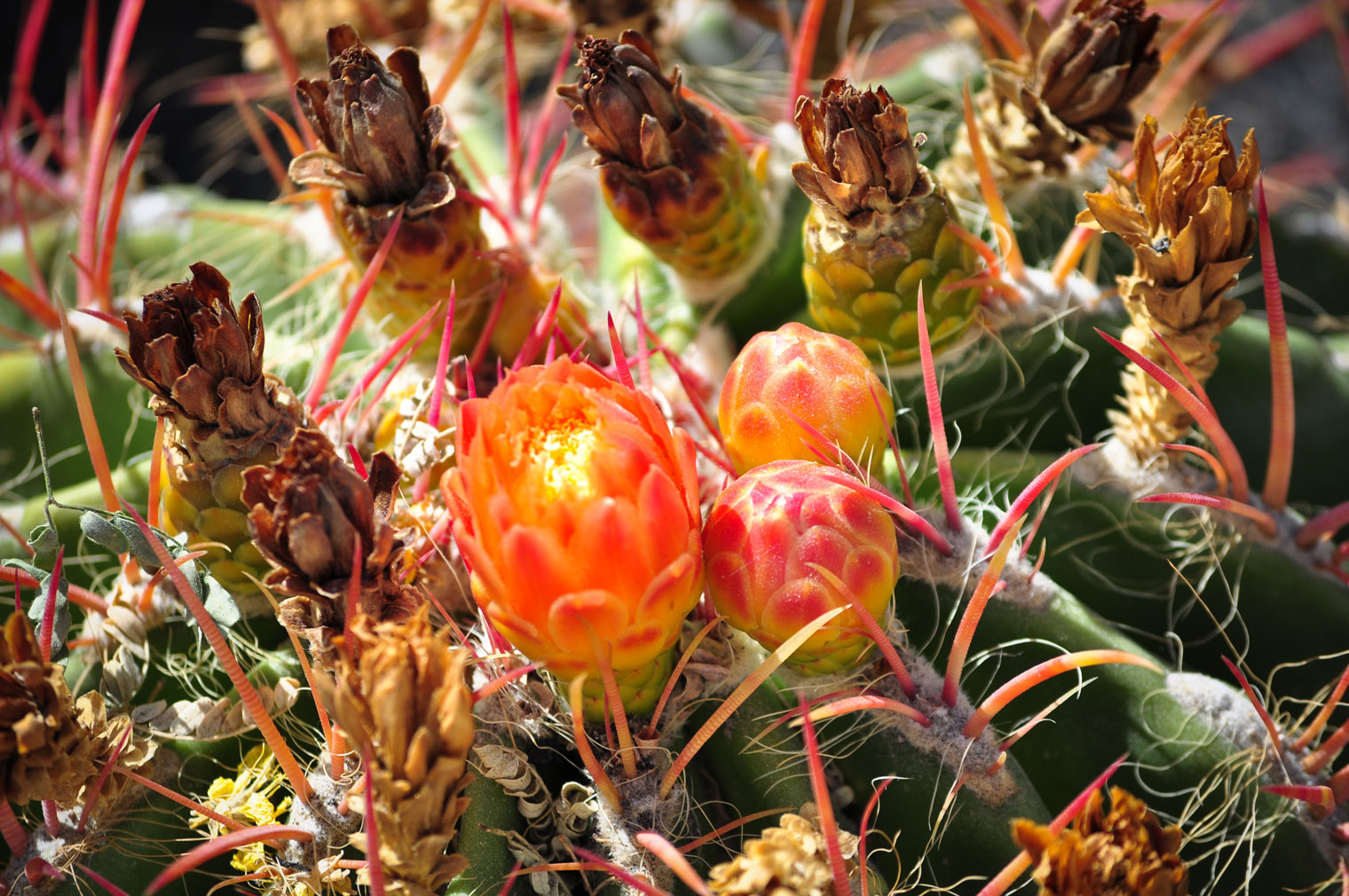 A close-up of the top of the Fire Barrel cactus with red spines and three emerging pink-orange-yellow flower buds on top.