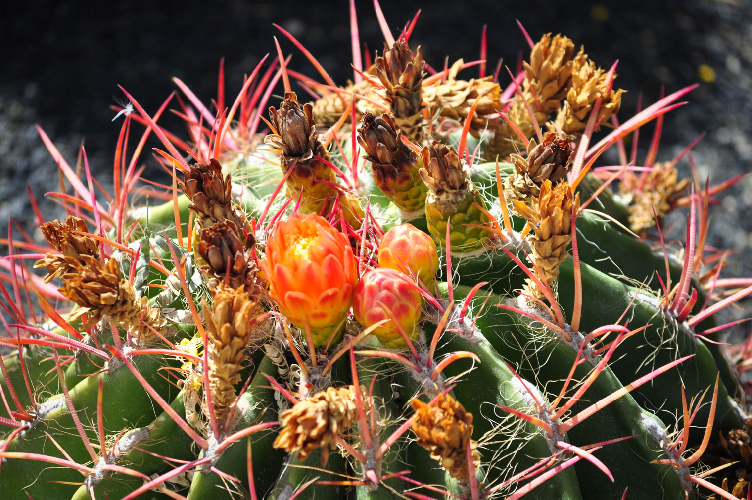 The top of the Fire Barrel cactus with red spines and three emerging pink-orange-yellow flower buds on top.