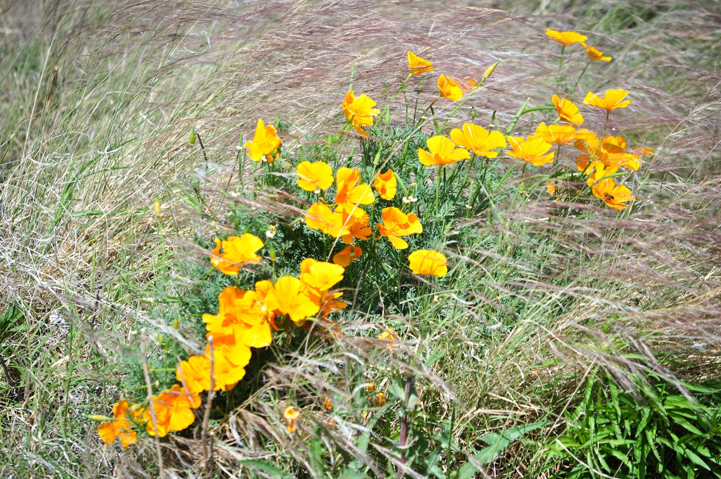 A small bunch of California Poppies bloom in the Wildflower Field at Sunnylands Center & Gardens.