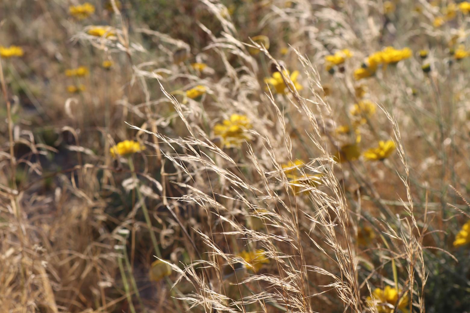 A close of of Indian Ricegrass among Desert Marigold flowers.
