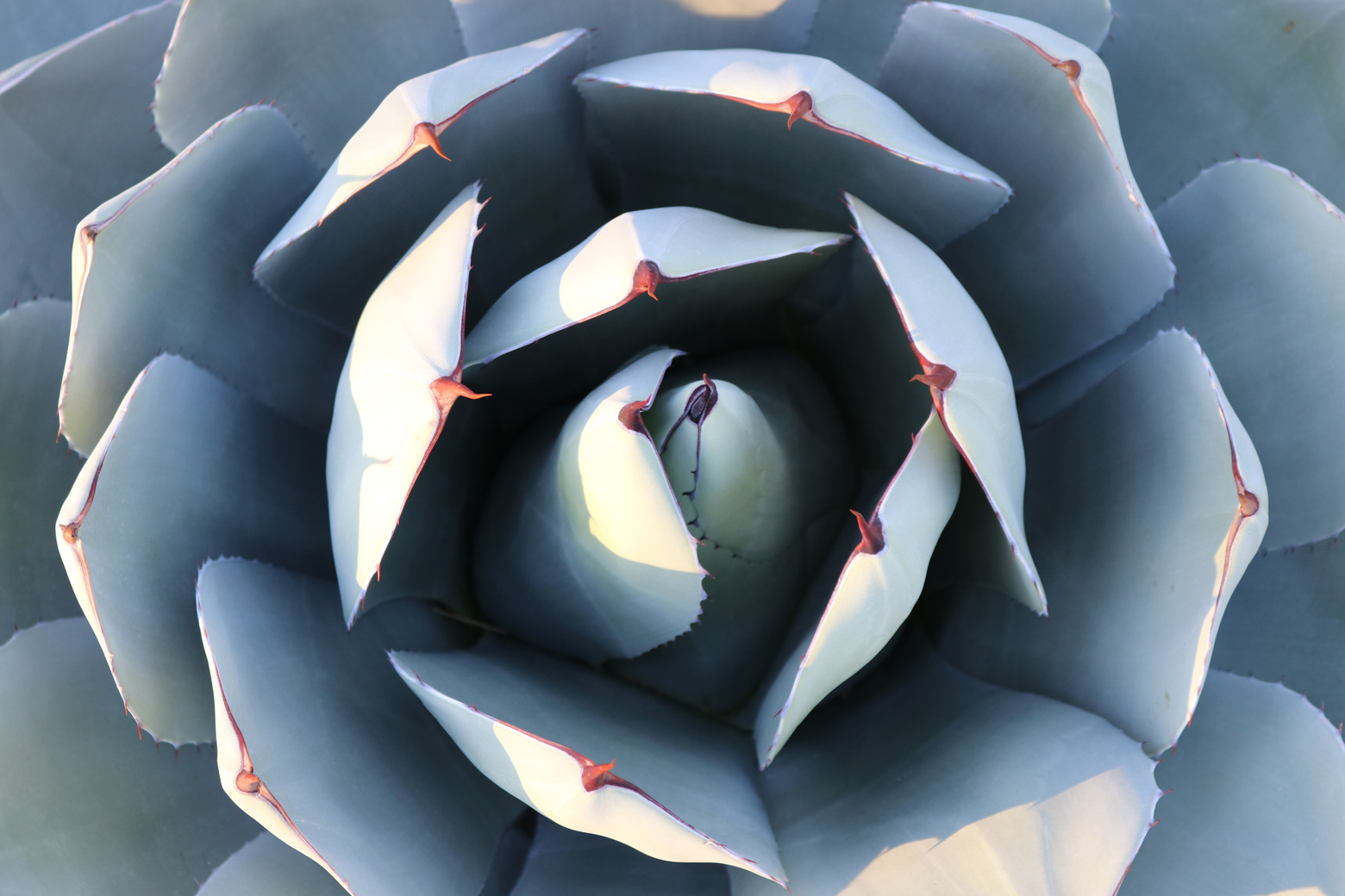 A view of the Artichoke Agave from above.