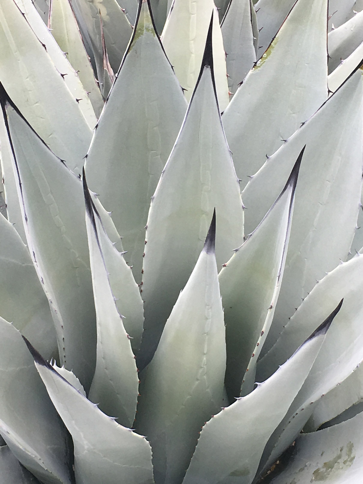 A close-up of the center leaves and spines of a Parry's Agave.