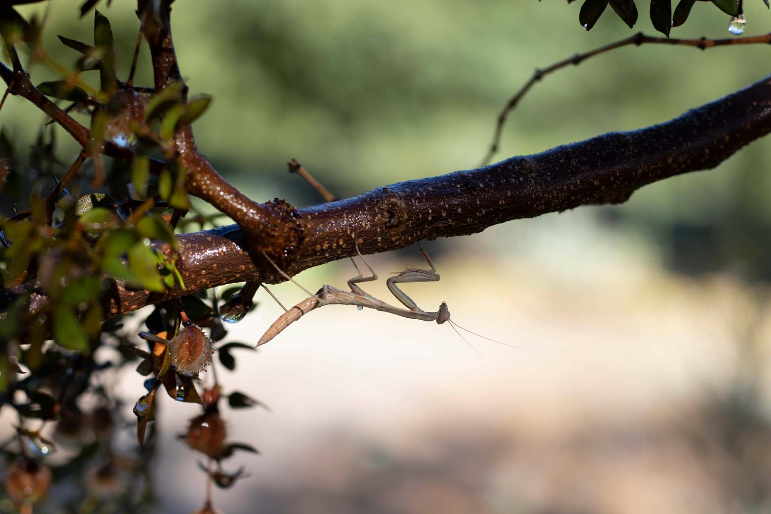 A praying mantis perches on the branch of a Creosote bush.