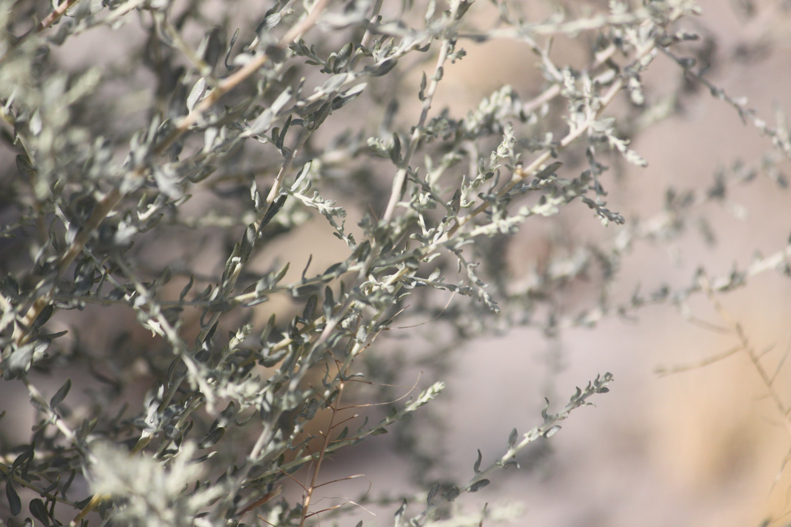 The gray branches of the Desert Salt Bush.
